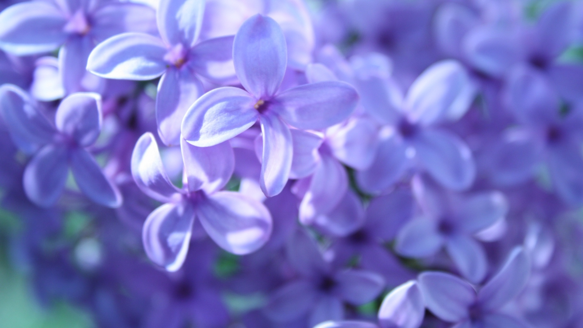 Free Purple Flower Wallpaper Hd « Long Wallpapers