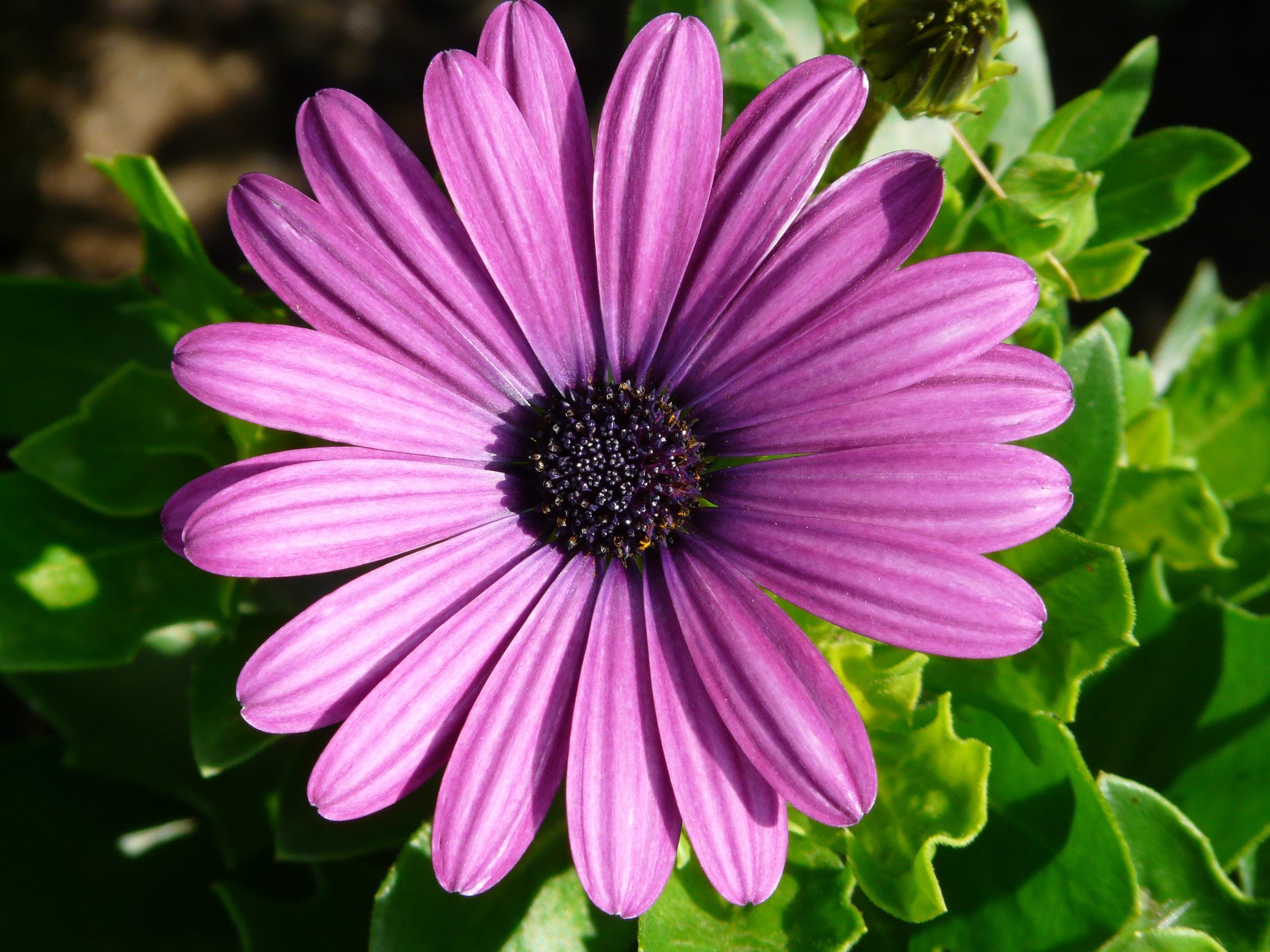Purple Flower, Bloom, Blossom, Close-up, Daisy, HQ Photo