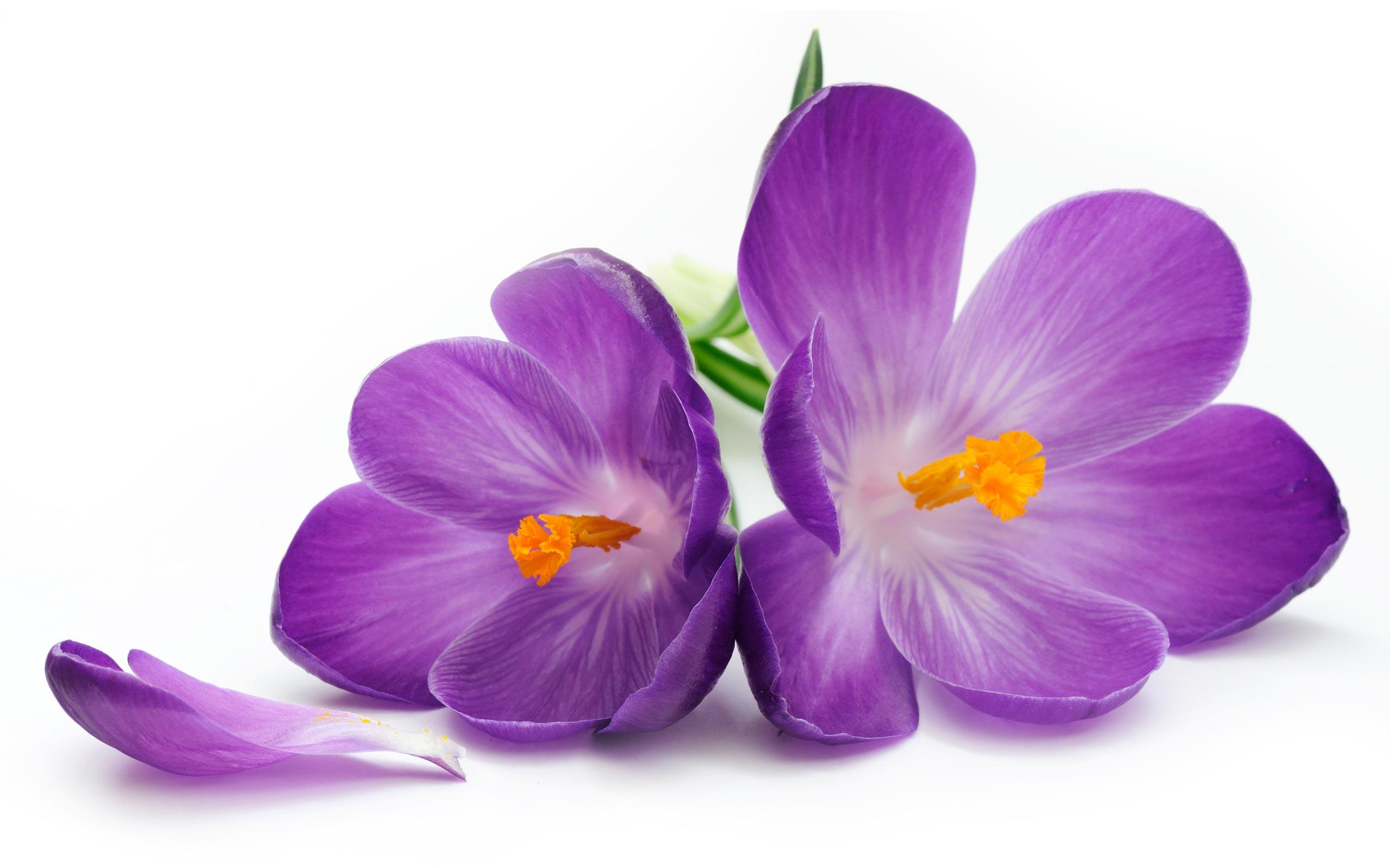 Purple Flower Photos 07179 - Baltana
