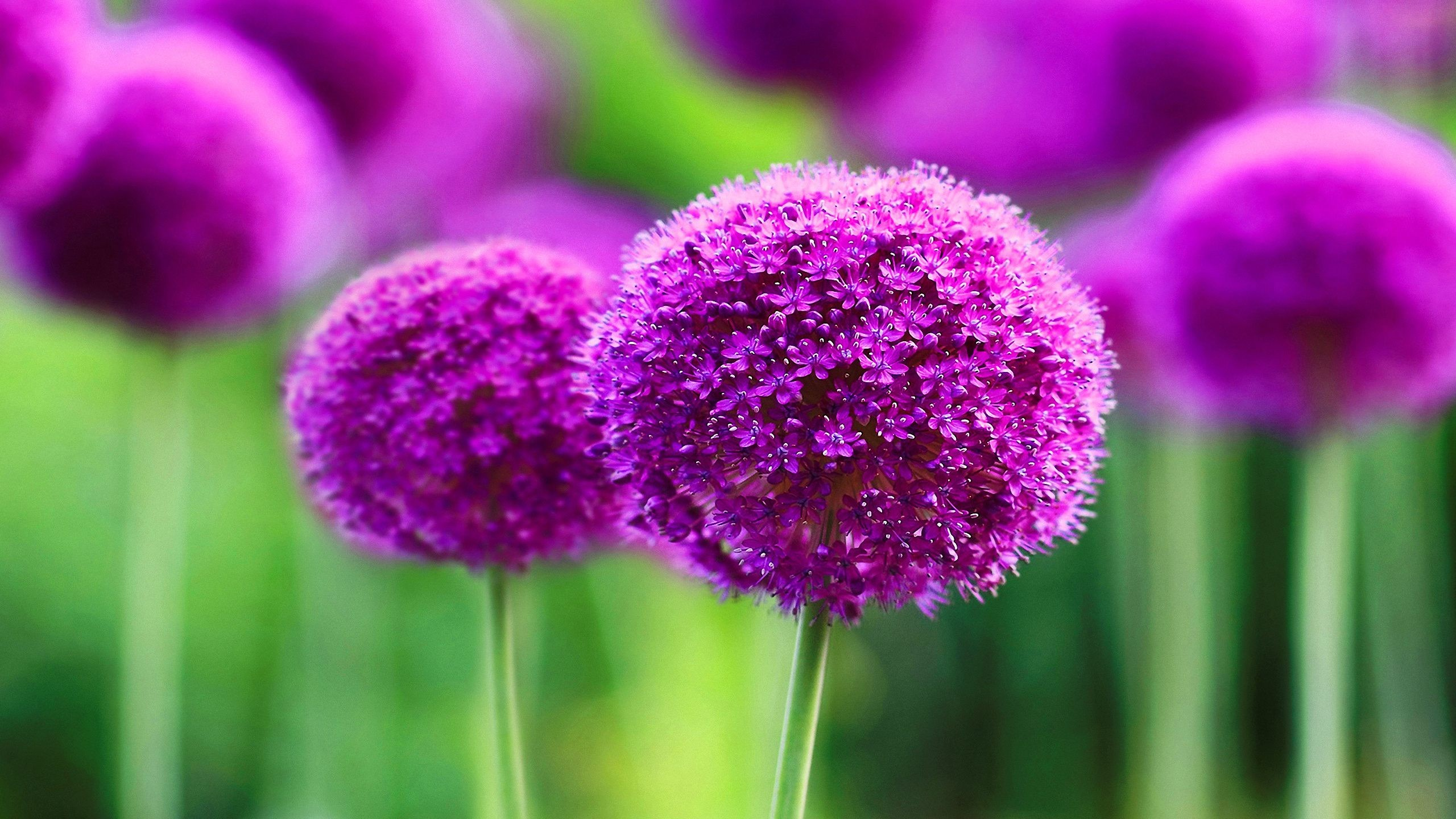 Purple Flower Wallpapers, Purple Flower Wallpapers for PC, HVGA 3:2 ...
