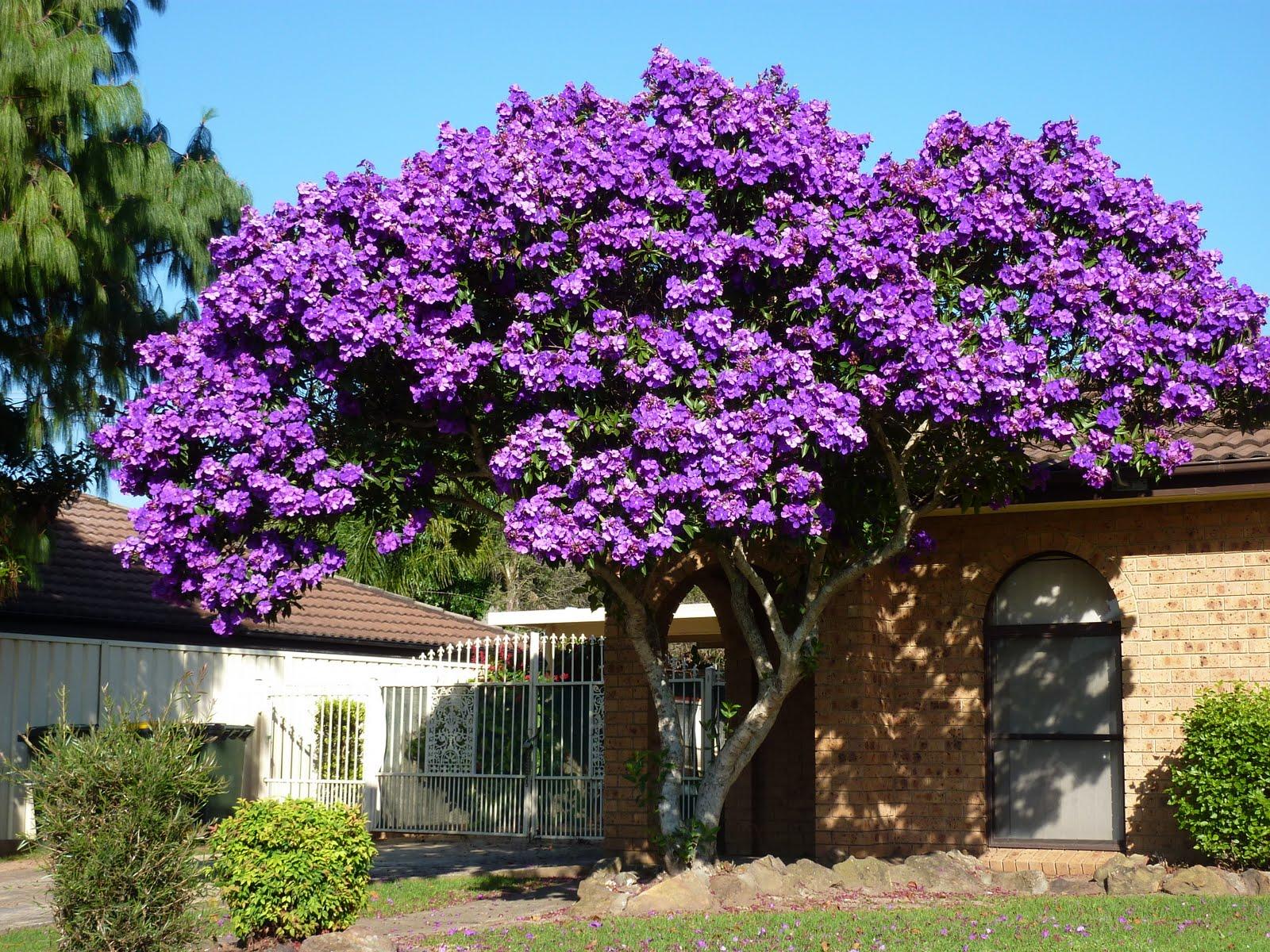 Free photo purple flowering tree yard springtime springflowers purple flowering tree mightylinksfo