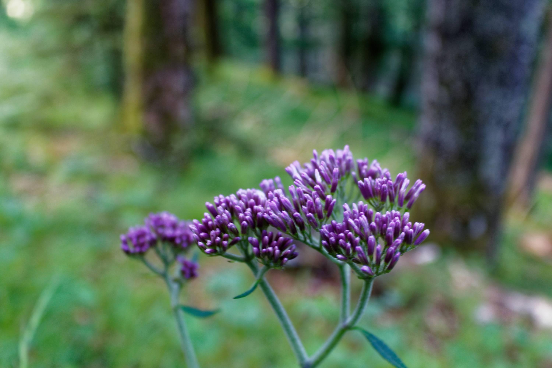 Free Photo Purple Flowers Plant Purple Petals Free Download
