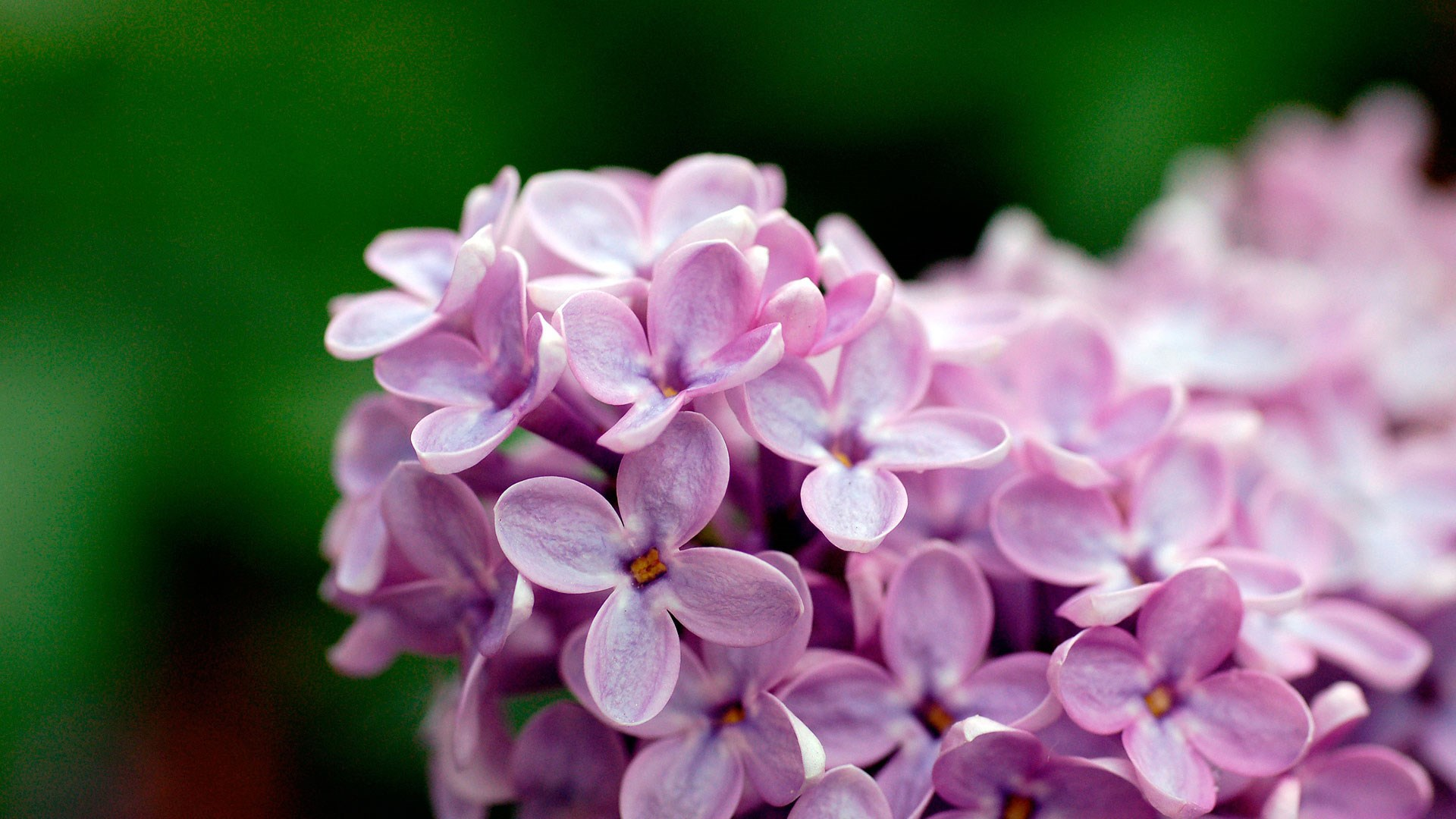 Light Purple Flowers 1080p - [1920 x 1080]