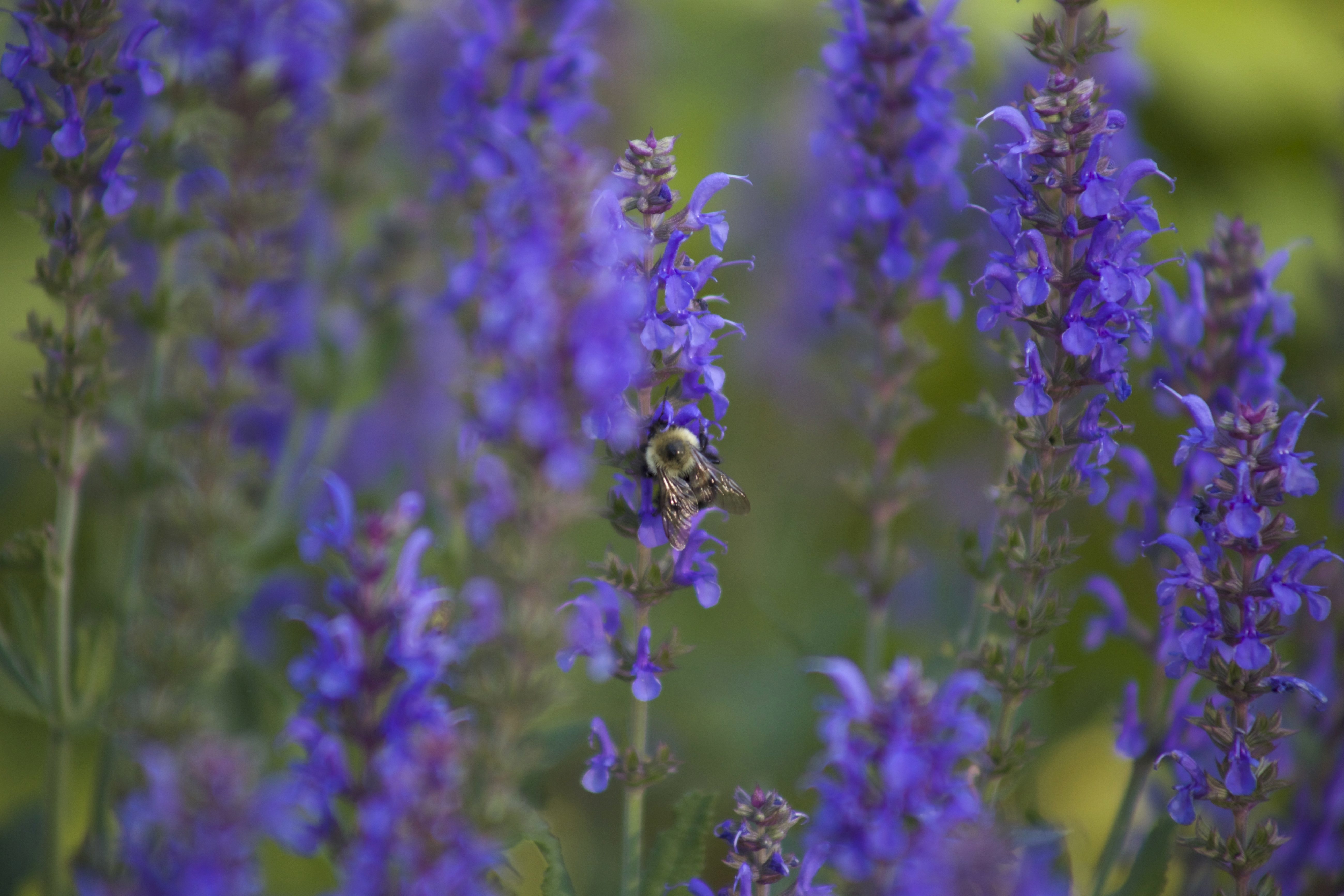 Free picture: bumblebee, insect, purple flowers, wild flowers ...