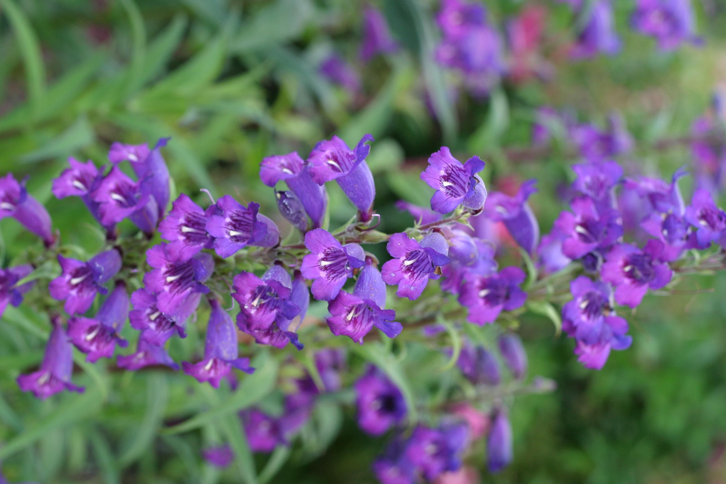 Free picture: small, purple flowers