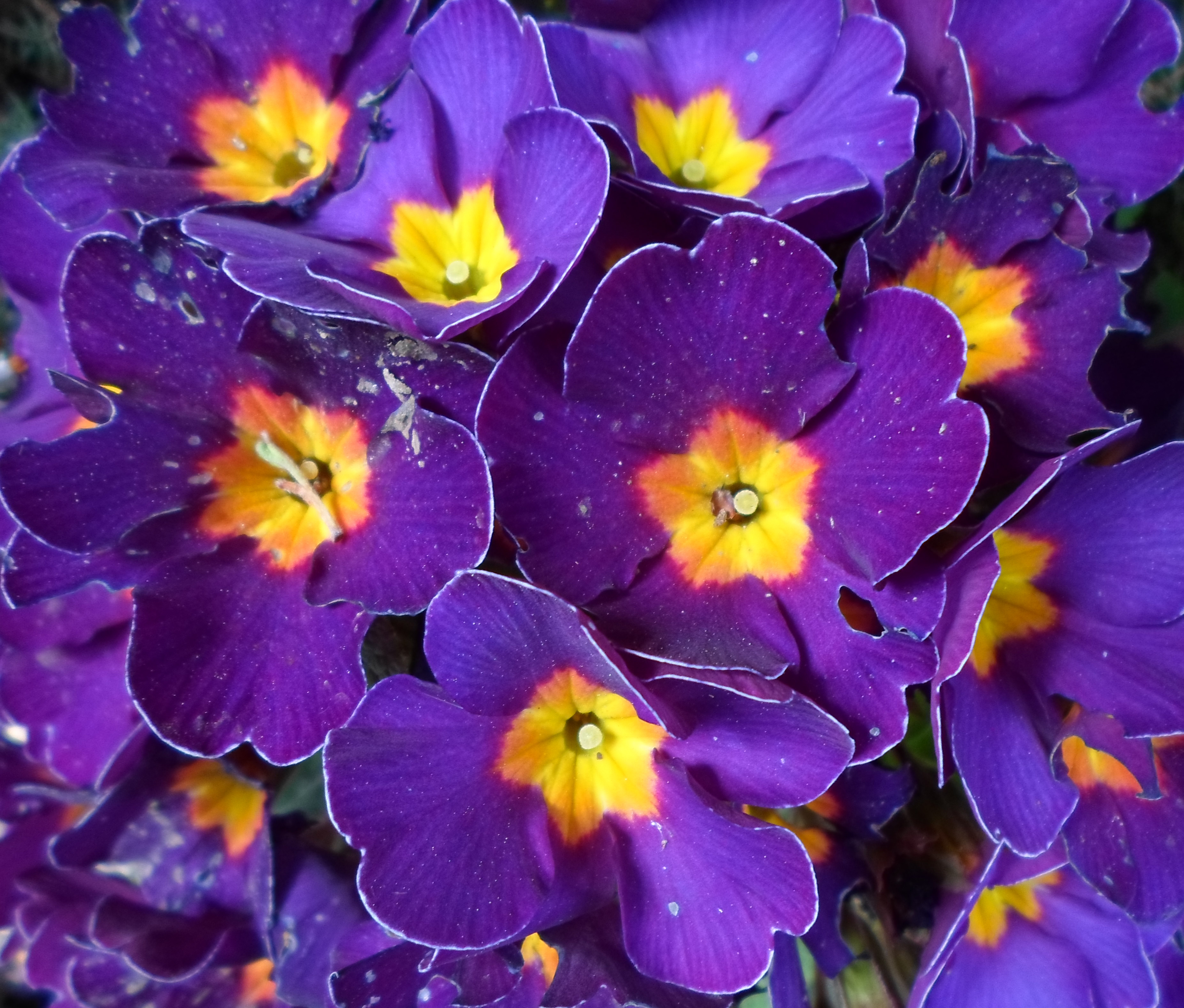 Free Photo Purple Flowers Plant Plants Purple Non Commercial