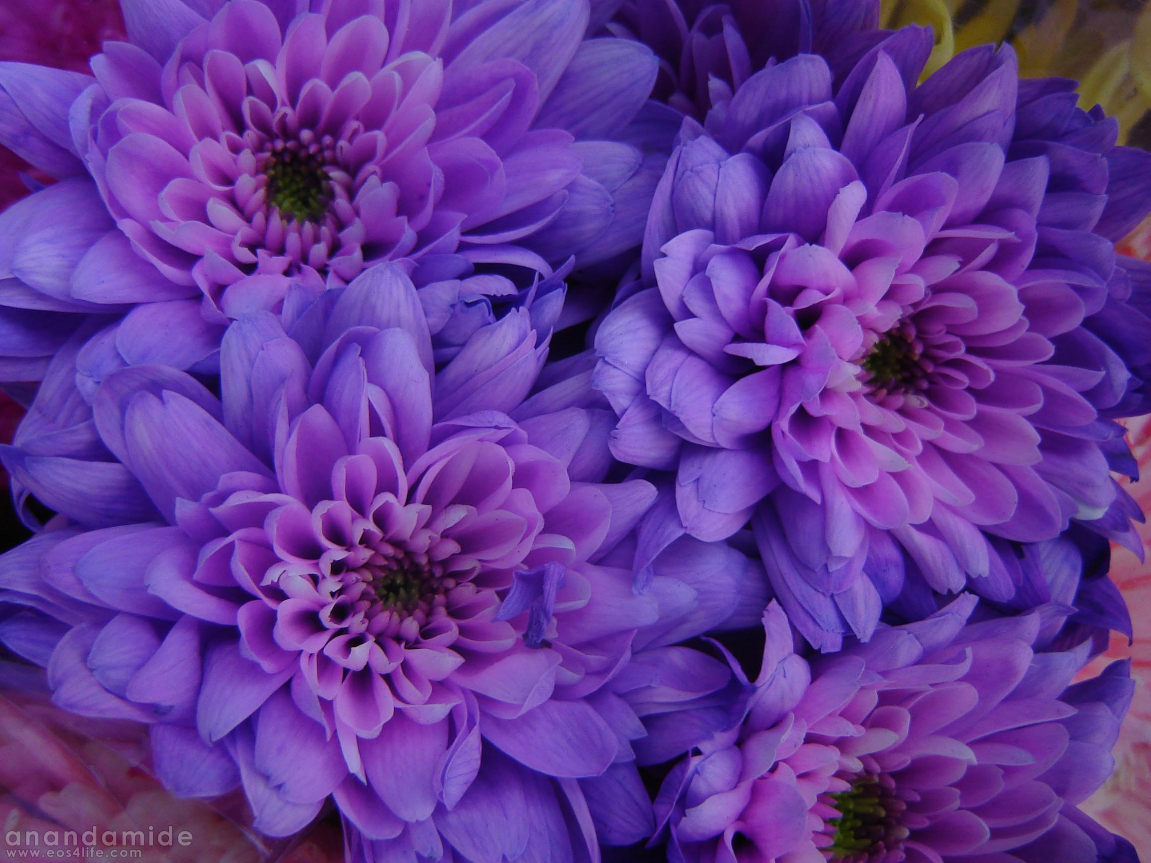 Free Photo Purple Flowers Pretty Purple Plant Free Download