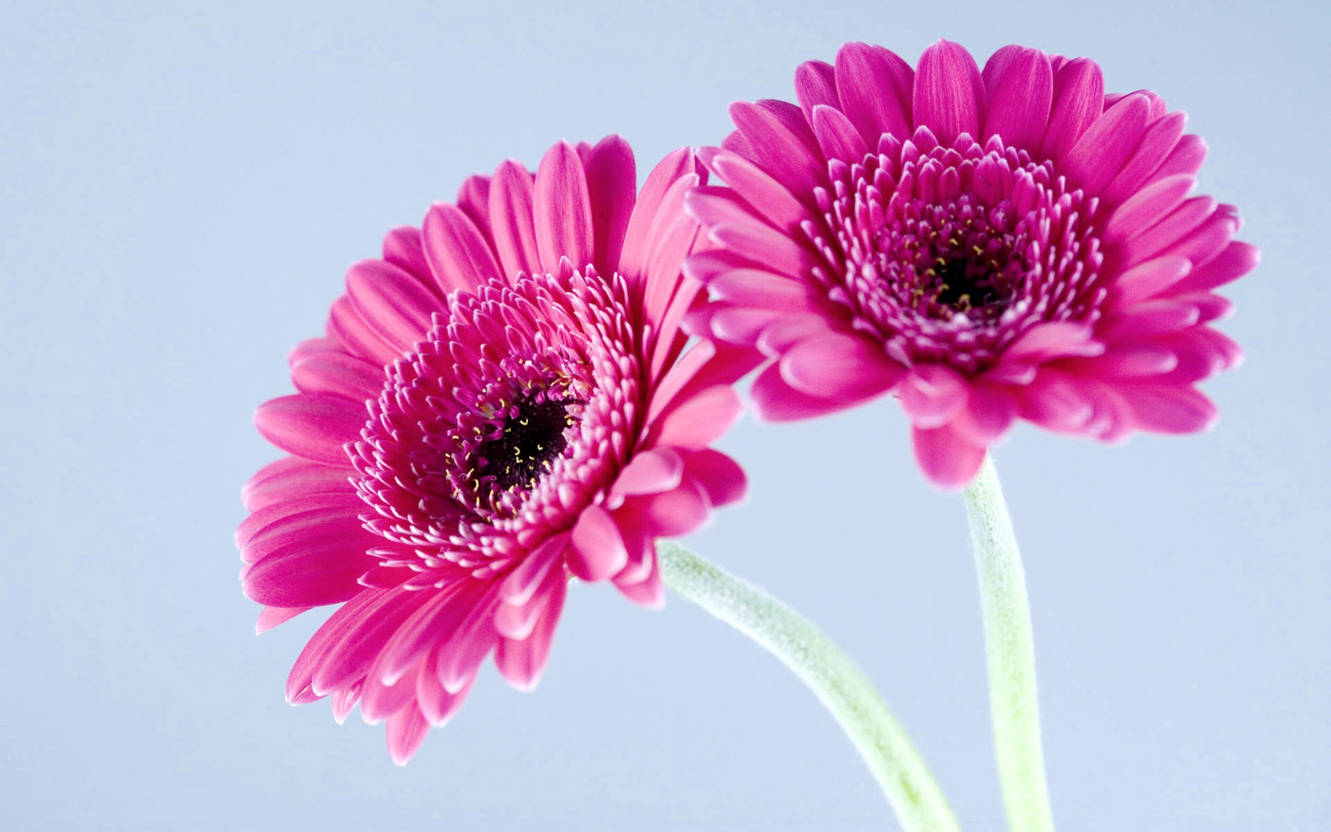 Purple Gerbera Daisies Facebook Covers | Wallpapers HD
