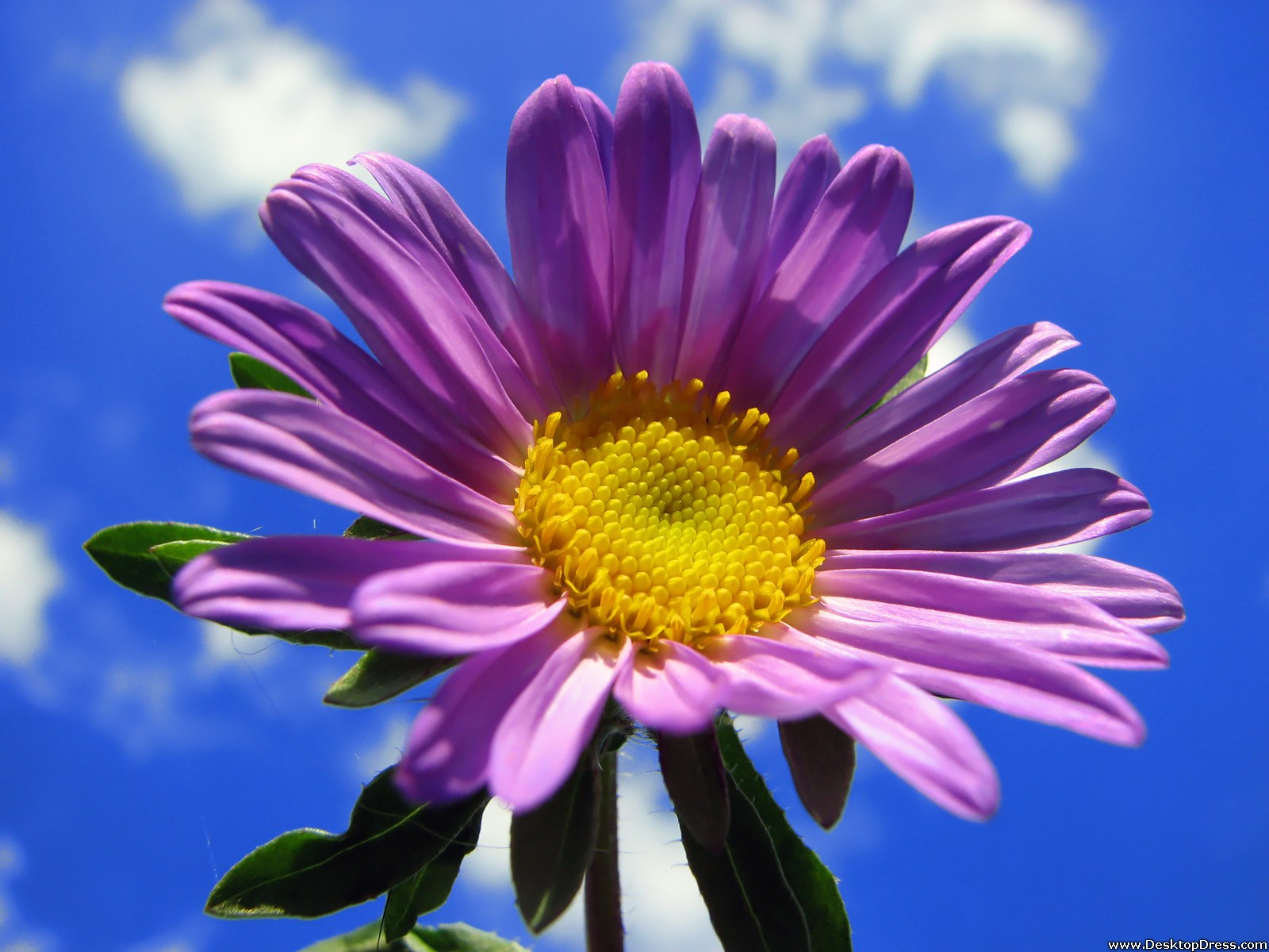 Desktop Wallpapers » Flowers Backgrounds » Big Purple Gerbera in the ...