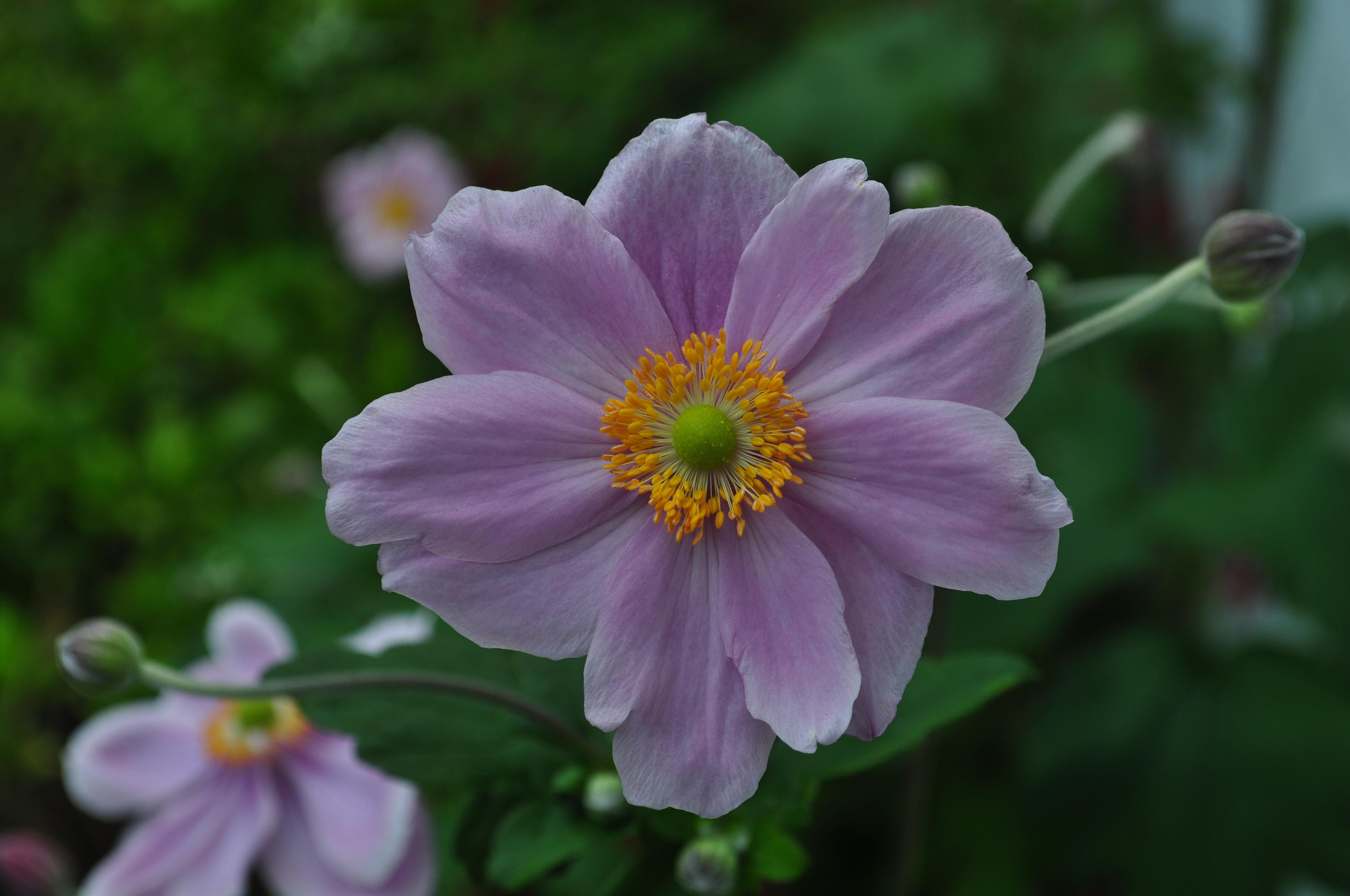 Purple japanese anemone photo