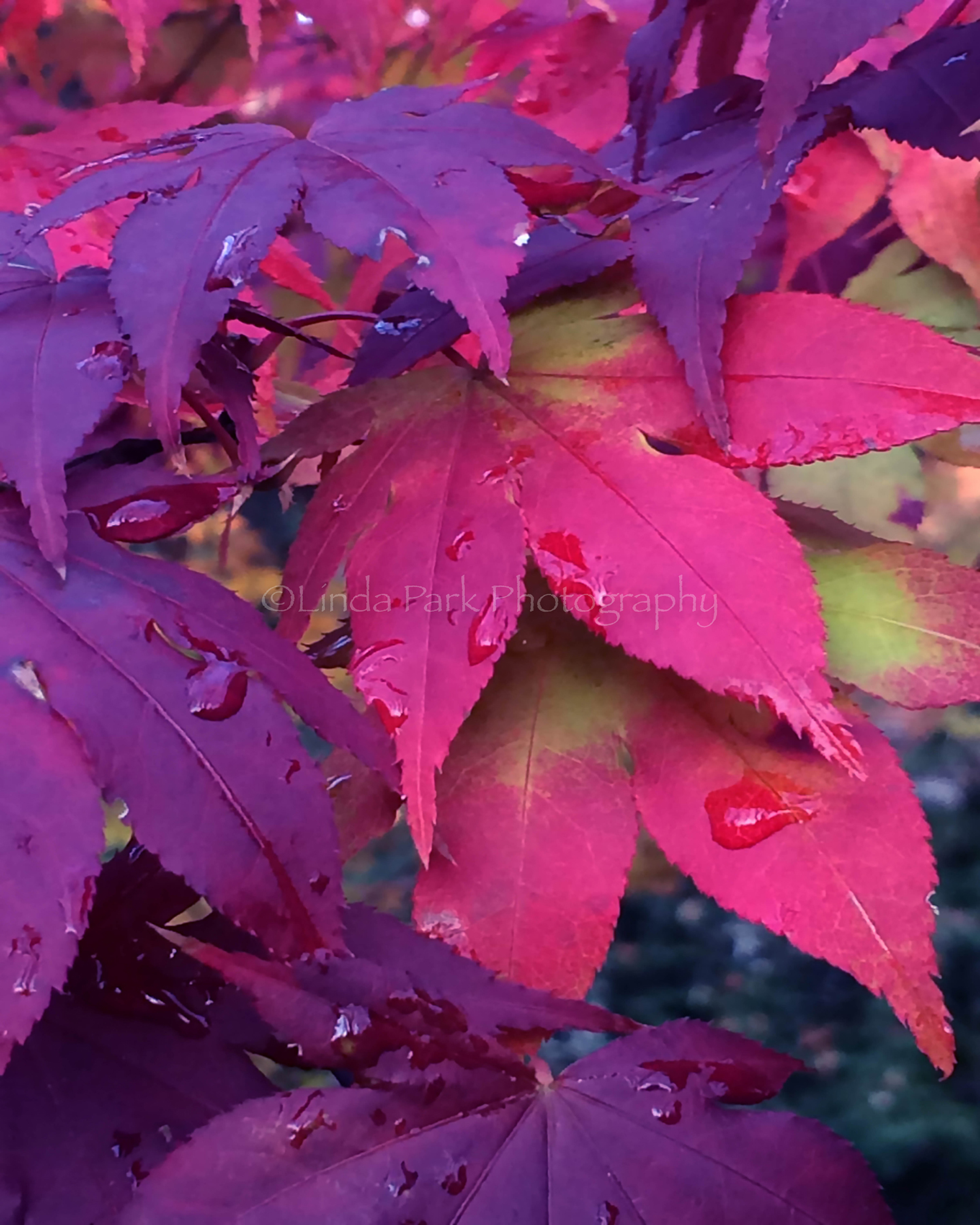 Pink and Purple Fall Leaves Photograph - Linda Park Photography