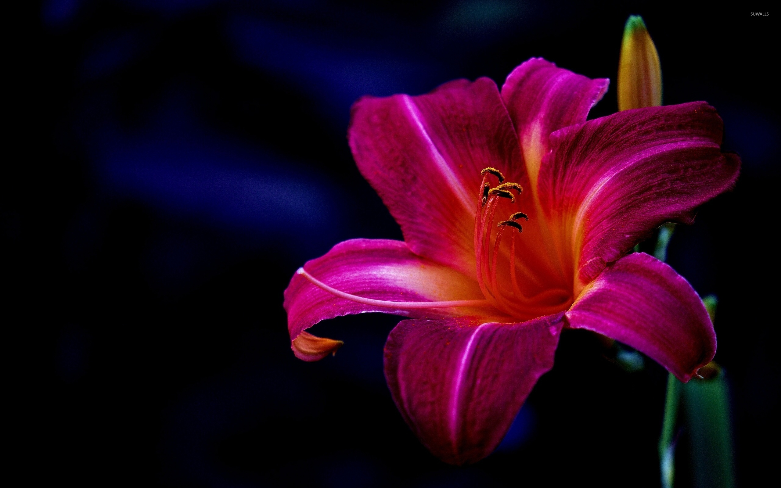 Free photo purple lily pond lily flower free download jooinn purple lily wallpaper flower wallpapers 40633 izmirmasajfo