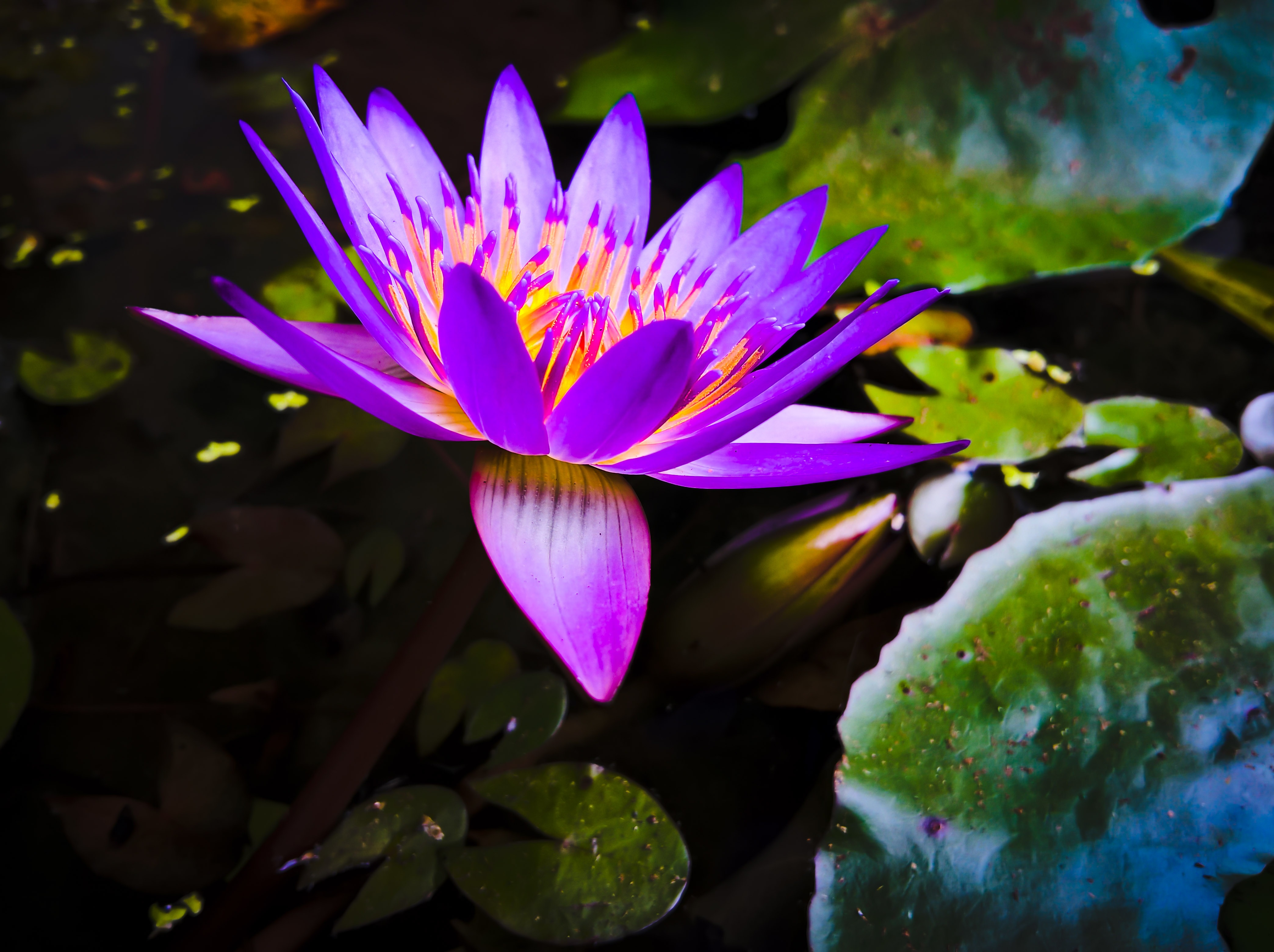 Free photo purple lily pond lily flower non commercial free free images purple lilies edit lily 4176x3120 1372205 free izmirmasajfo