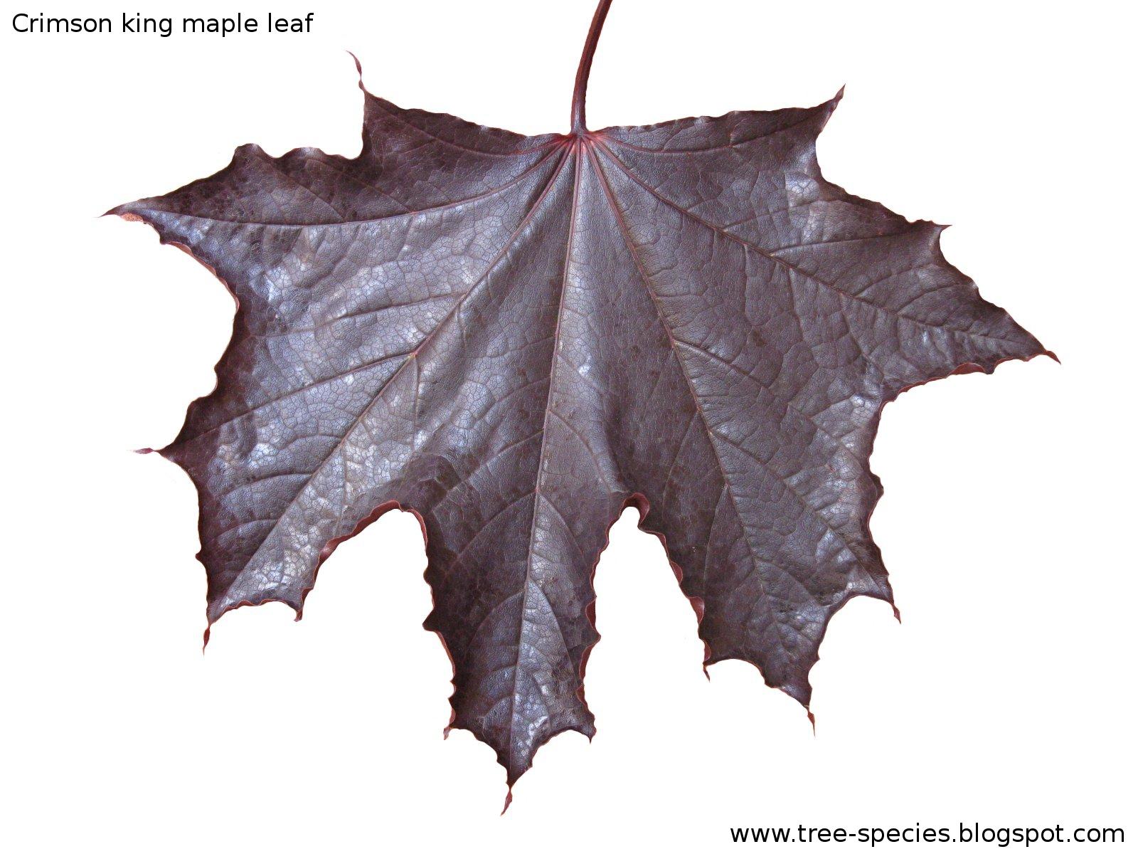 The World´s Tree Species: Crimson king maple leaf