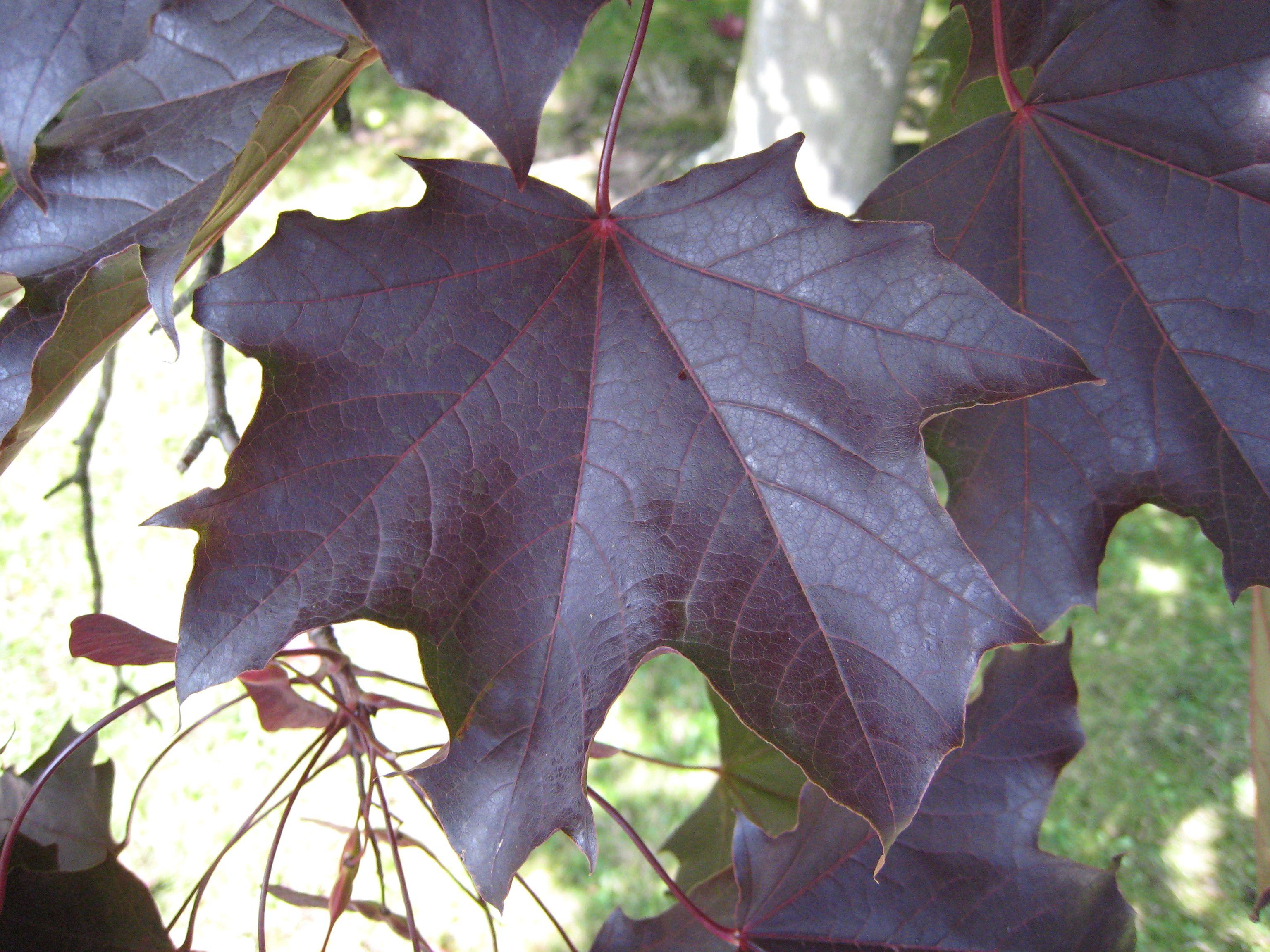 Acer Platanoides 'Goldsworth Purple' | Purple Garden | Pinterest ...