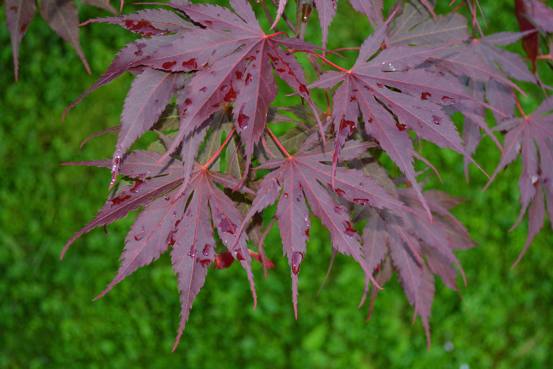 Purple maple leaves, Autumn, Leaves, Wet, Texture, HQ Photo