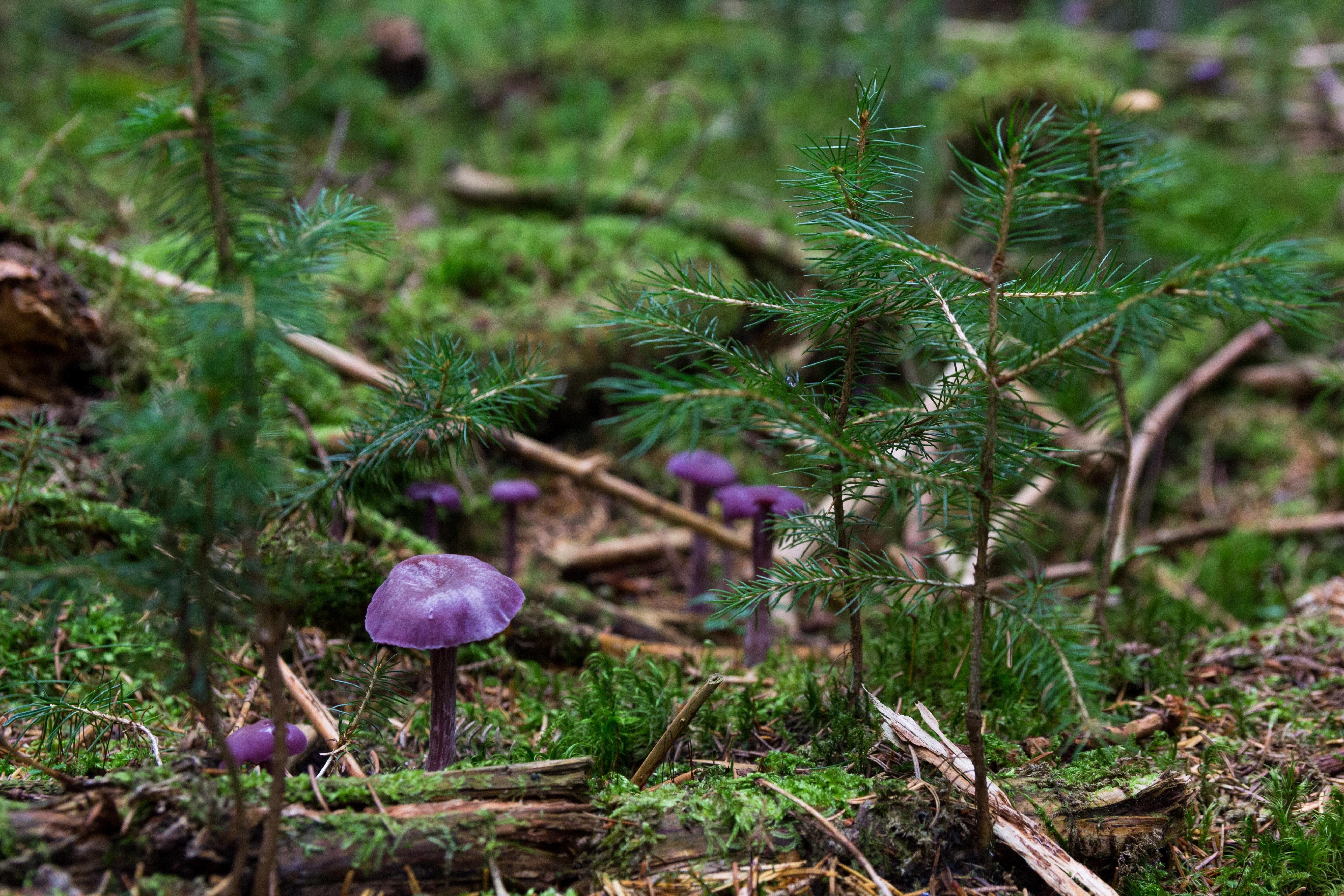 Purple mushrooms on ground photo