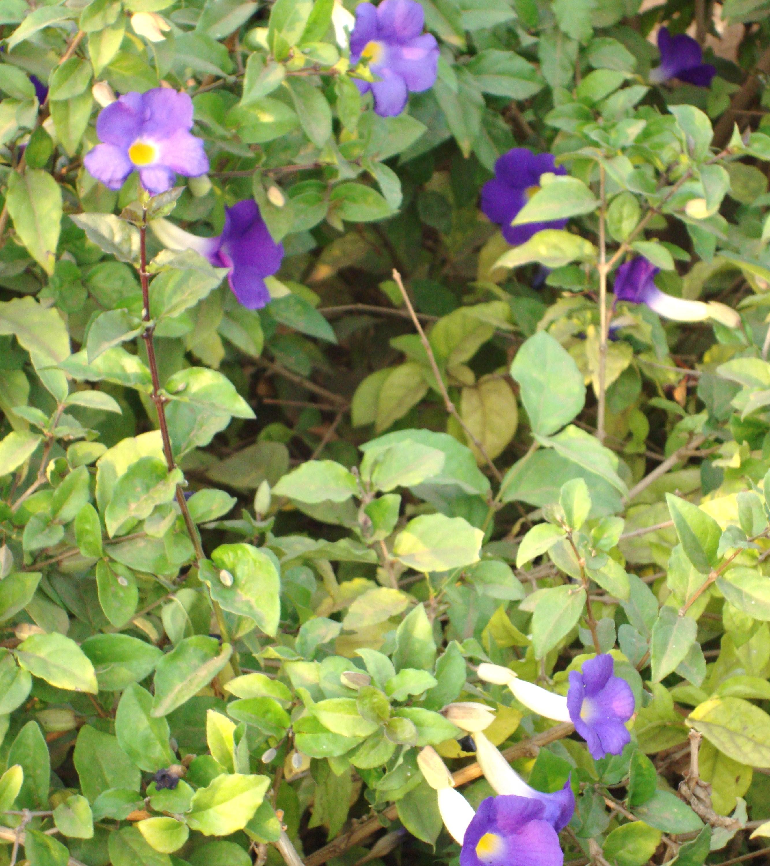 Small Purple Perennial Flowers Images Fresh Lotus Flowers