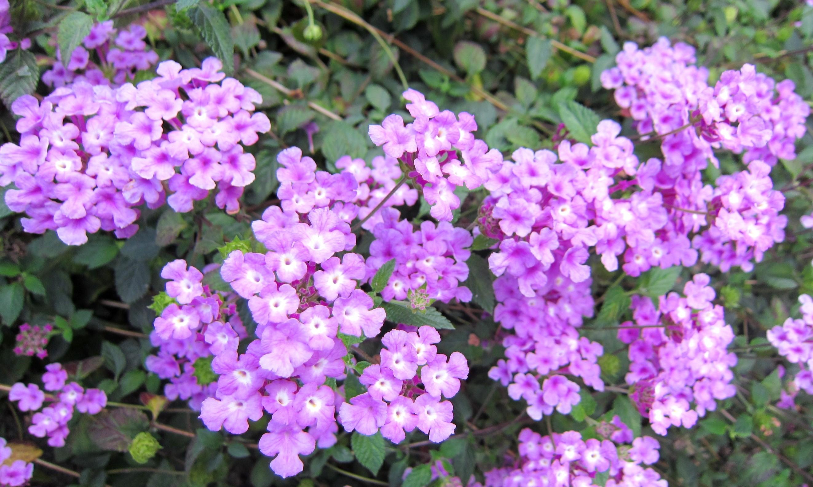 Flower: Shrub Flowering Round Purple Camara Lantana Flowers Year ...