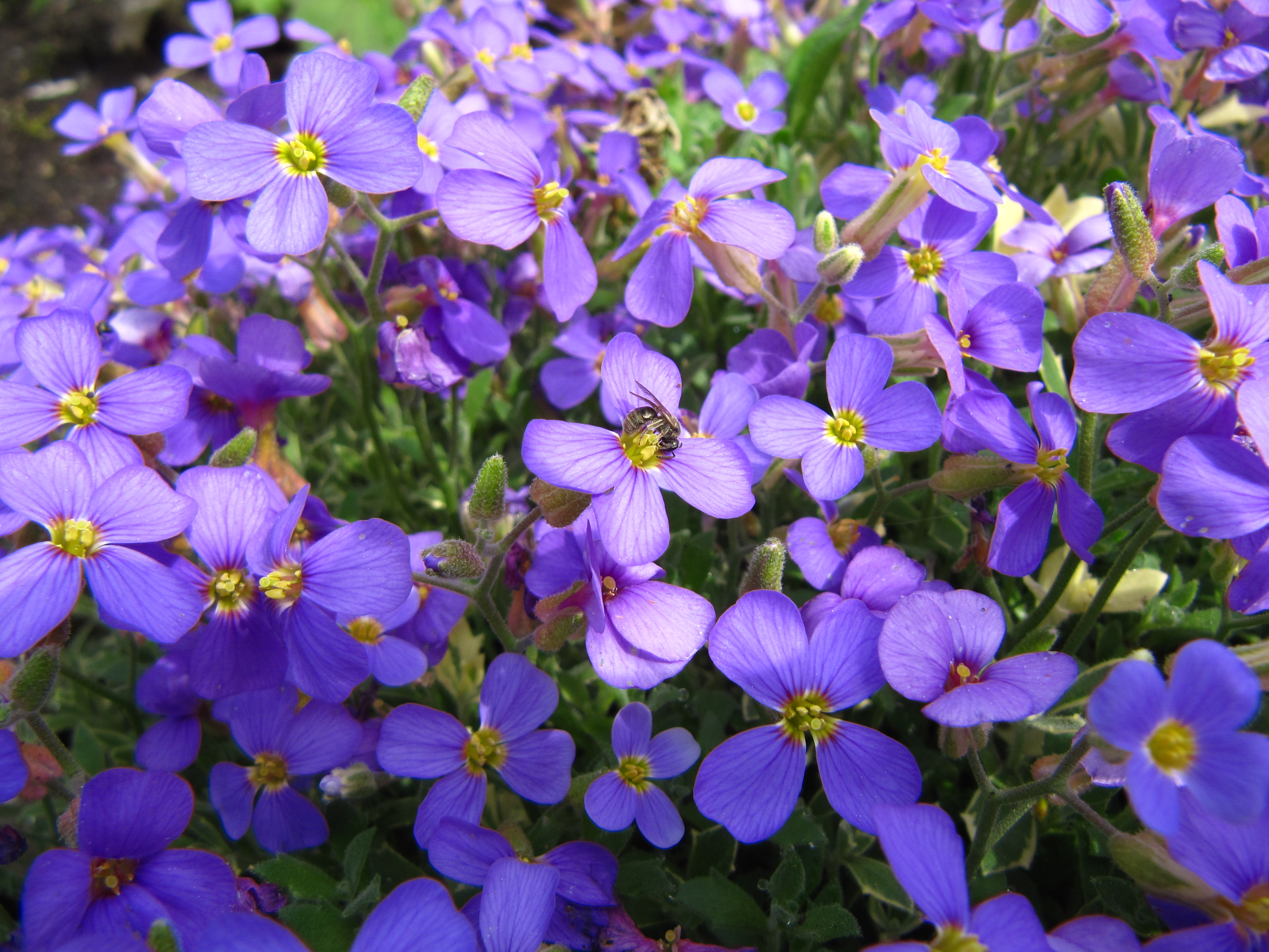 Free photo purple spring flower purple spring outdoors free purple spring flower mightylinksfo