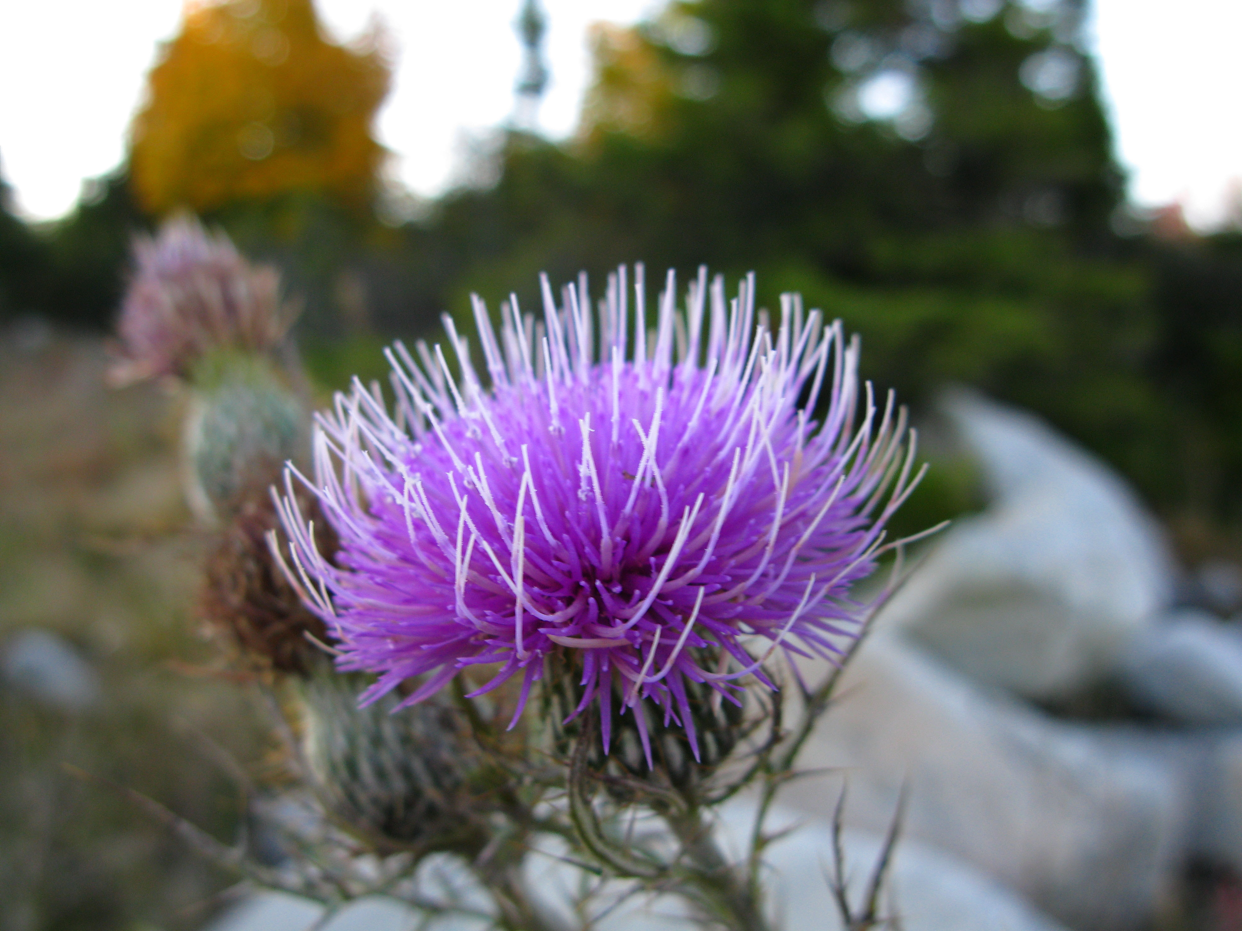 Thorny Purple Wild Flower | Flowers| Free Nature Pictures by ...