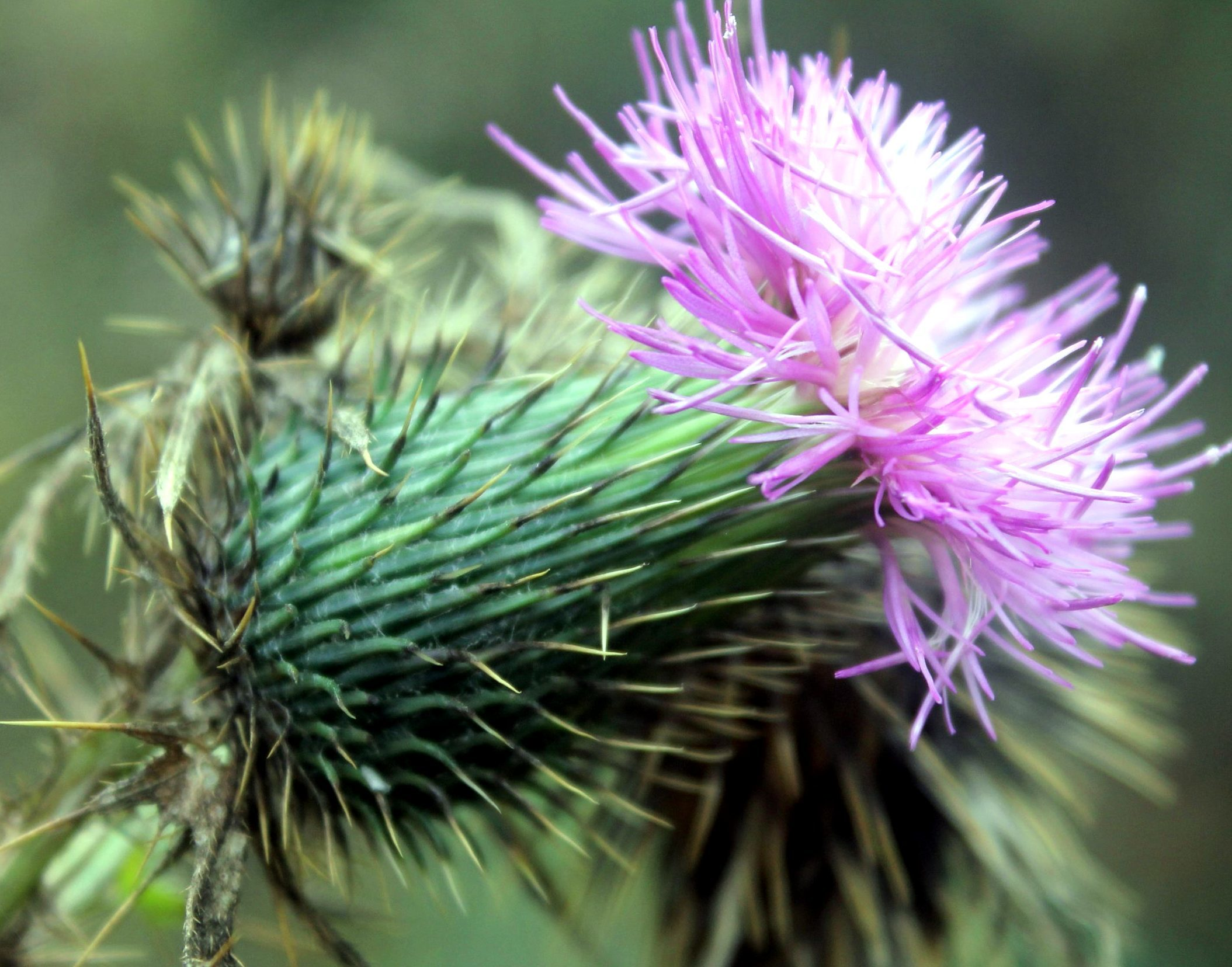 Free picture: thistle flower, thorny purple flower, thorns