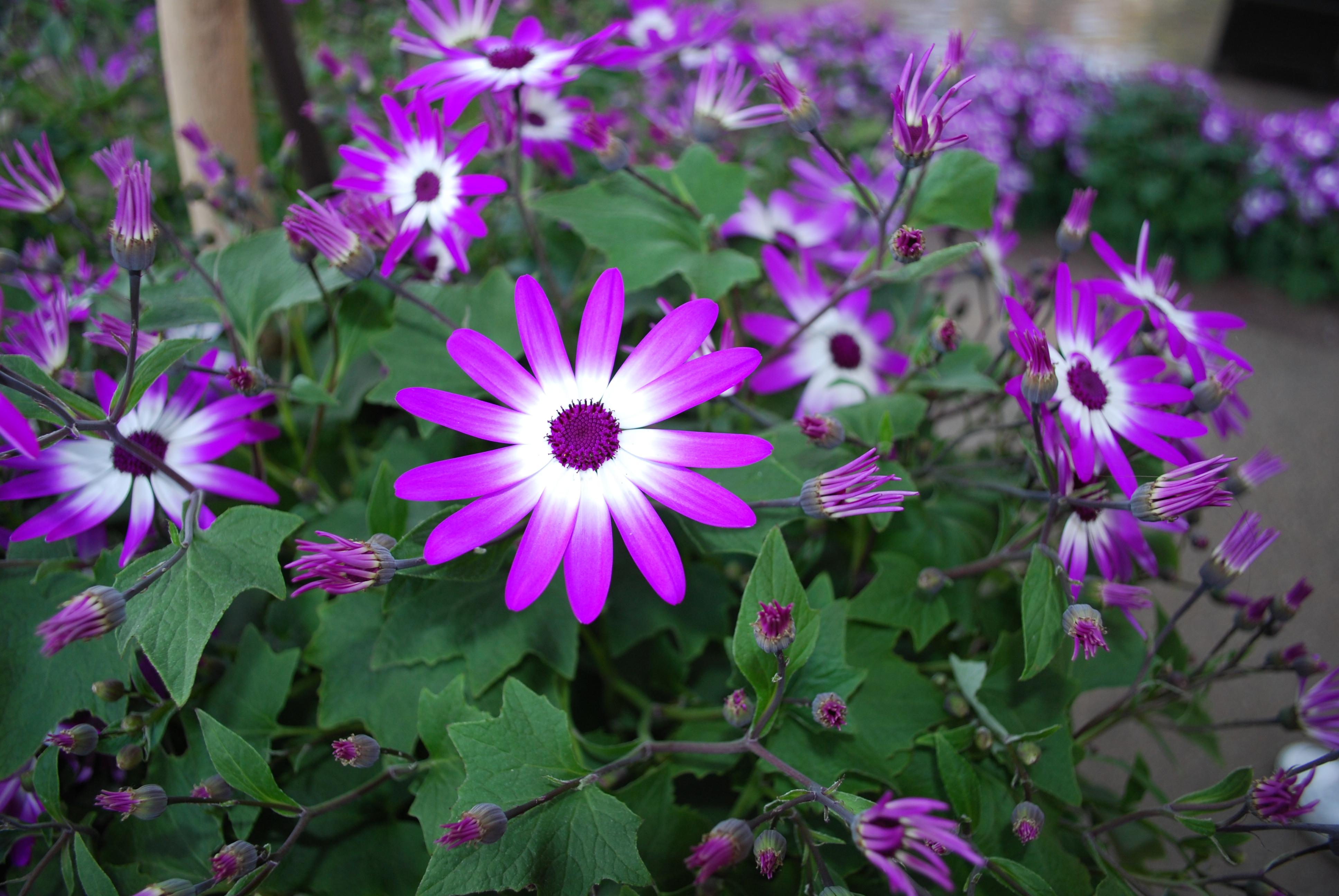 Free photo purple white flower pink plant hd wallpaper free purple white flower mightylinksfo