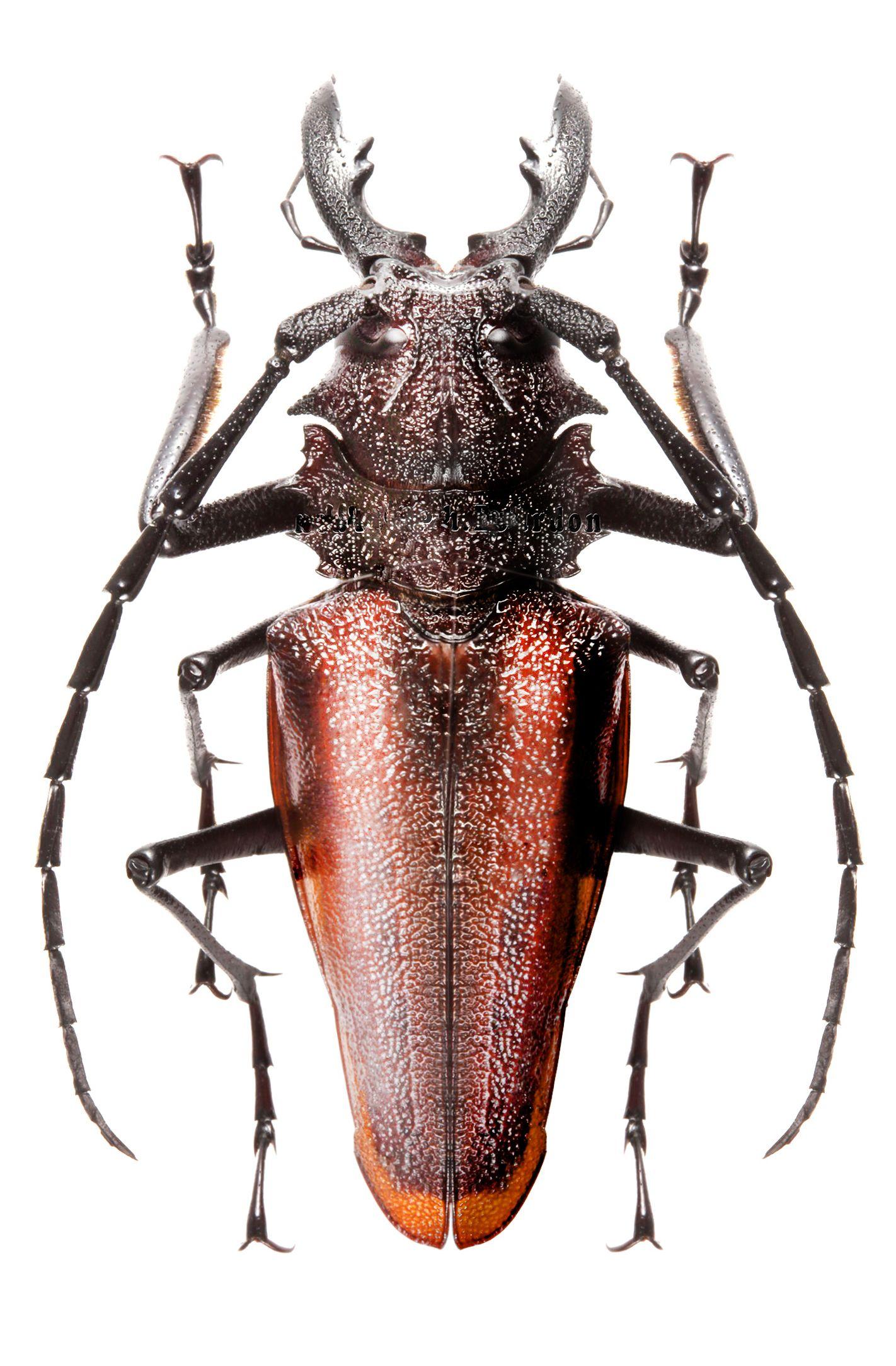 Psalidognathus rufescens | insects ,bugs,entomology | Pinterest ...