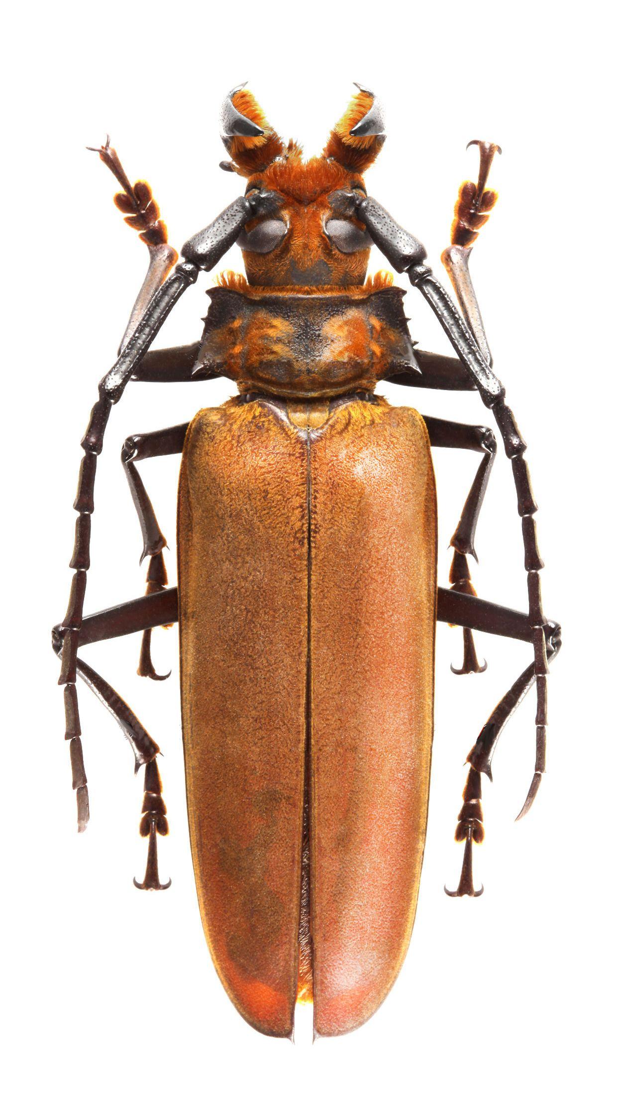 Callipogon (Orthomegas) fragosoi | Beetles - Longhorn | Pinterest ...