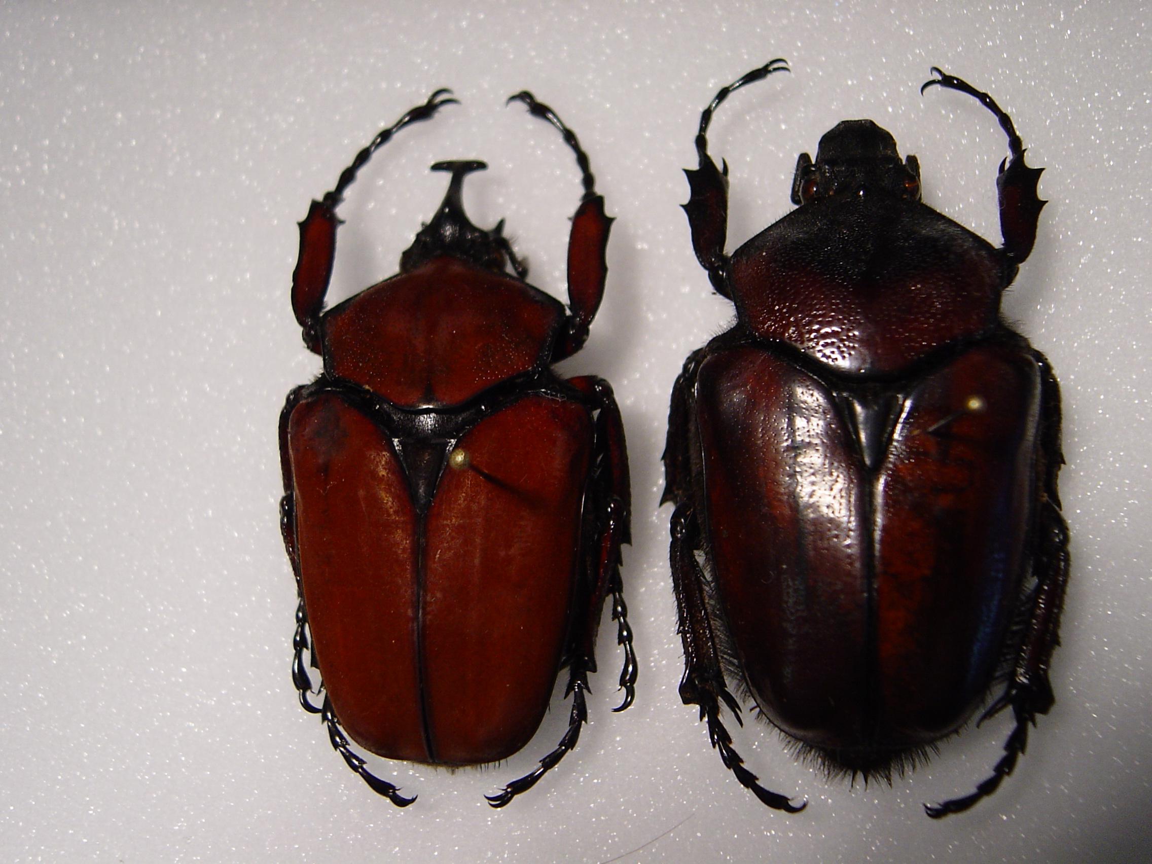Pyrodes longiceps beetle photo