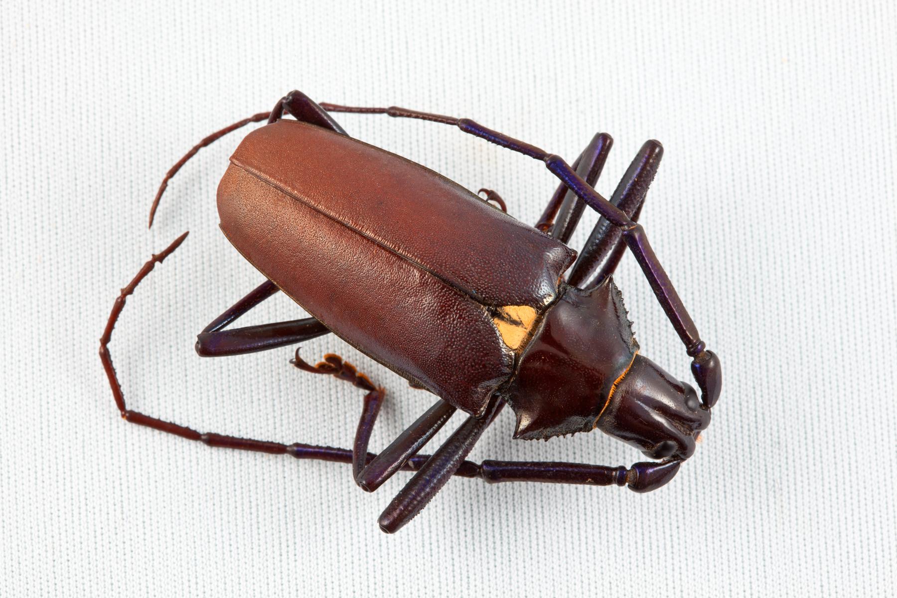 Pyrodes Longiceps Beetle, Leg, Legs, Macro, Isolation, HQ Photo