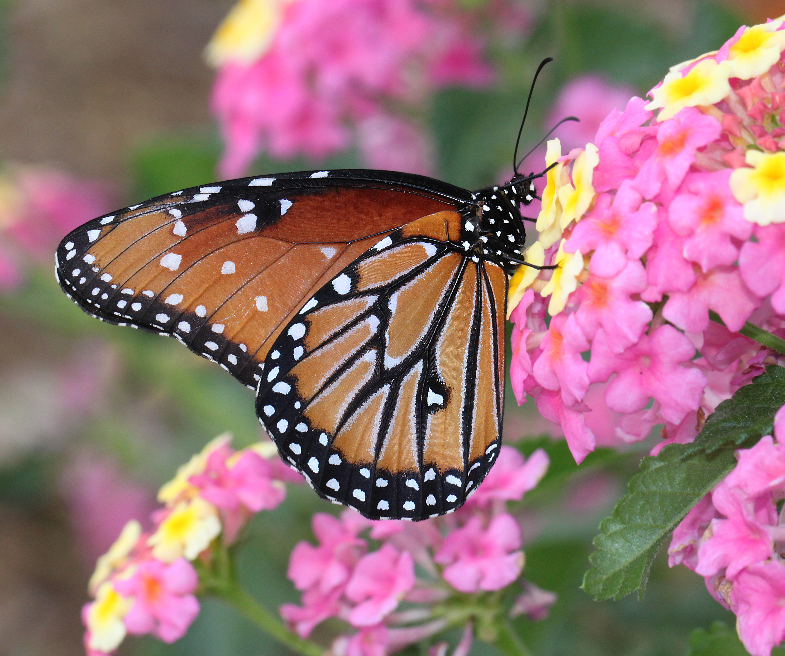 QUEEN (Danaus gilippus) (10-1-11) harshaw rd, scc, az -01, Animal, Bright, Butterfly, Insect, HQ Photo
