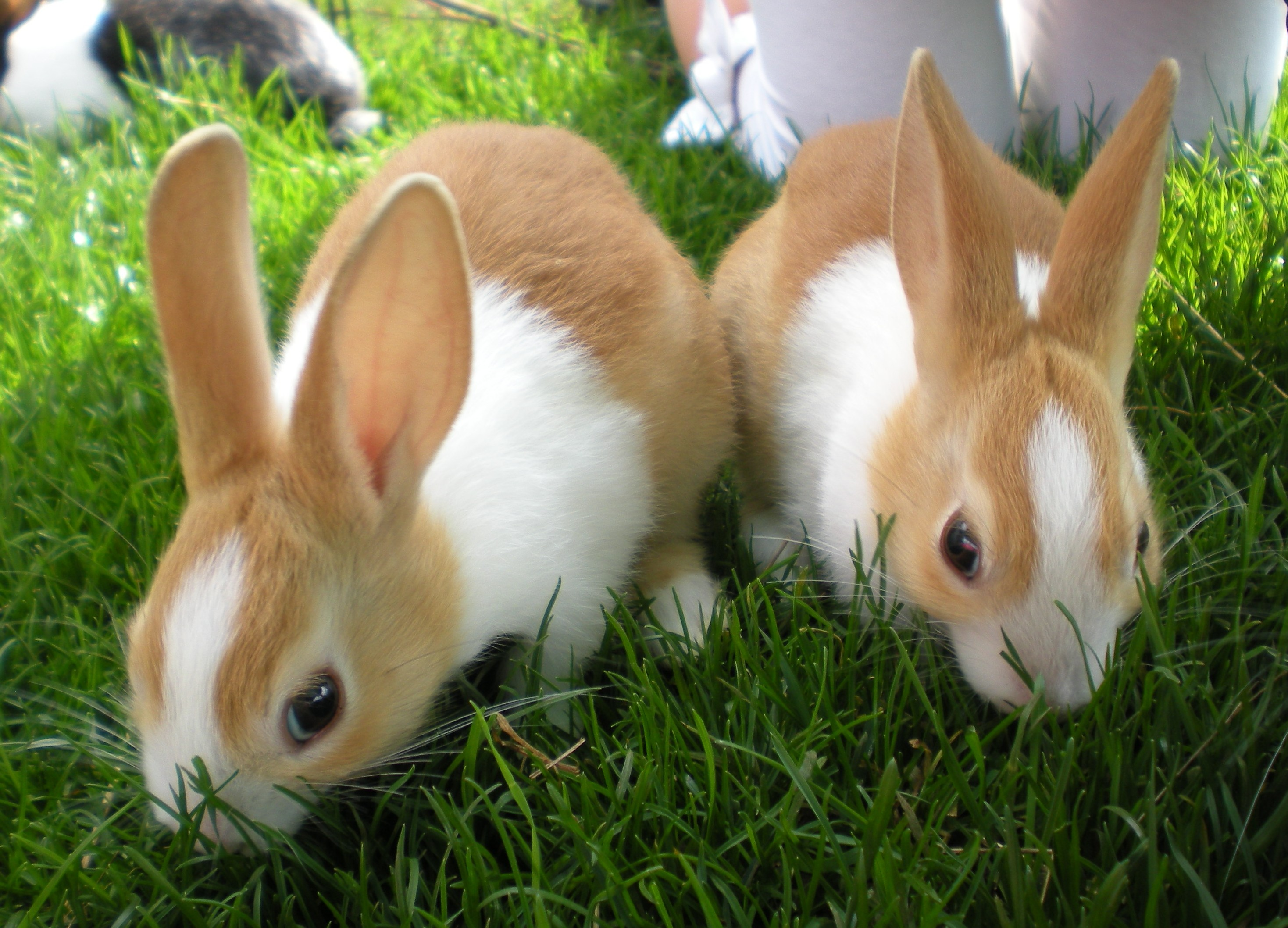 Dutch For Sale | Rabbits | Breed Information | Omlet