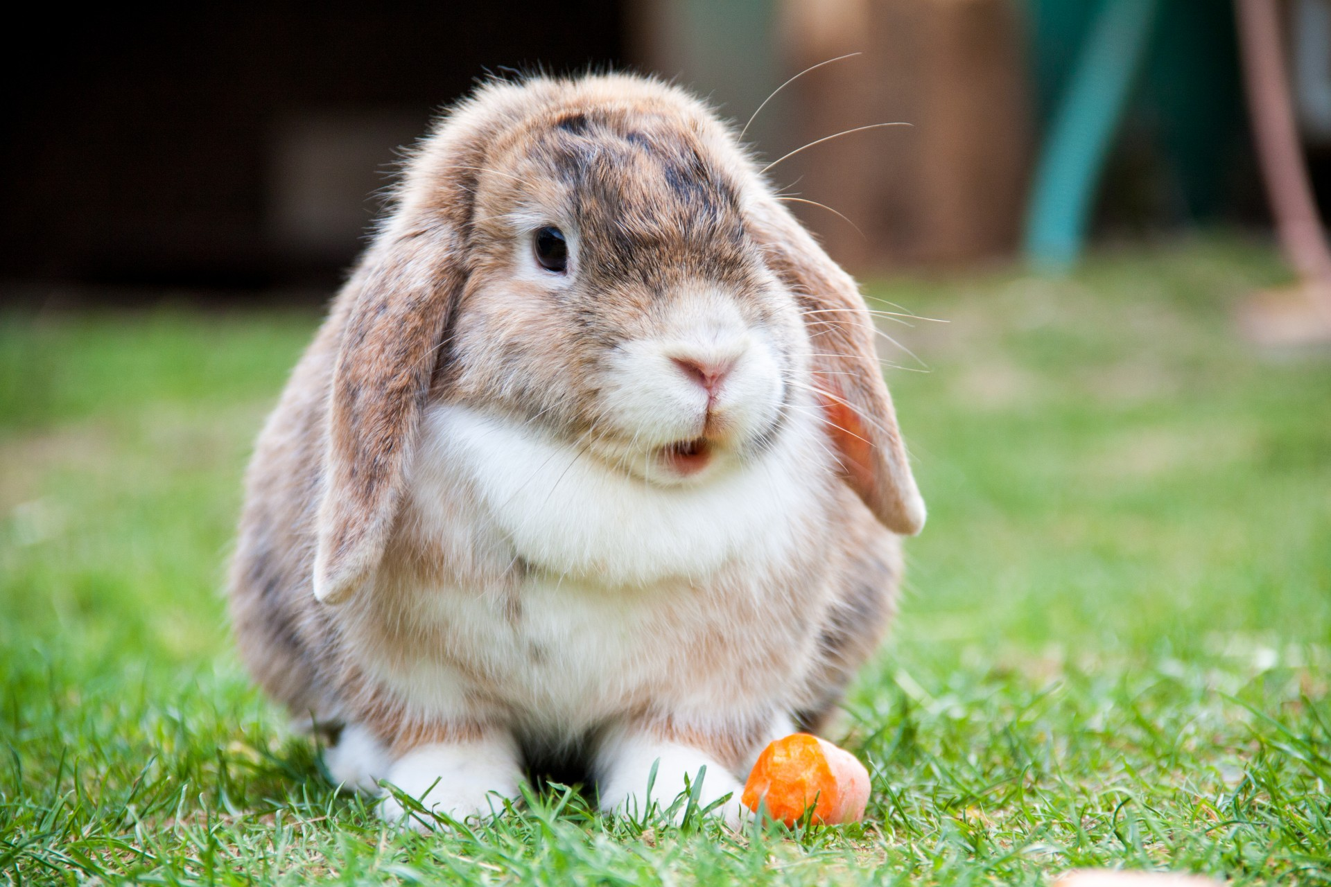 Lop Eared Rabbit Free Stock Photo - Public Domain Pictures