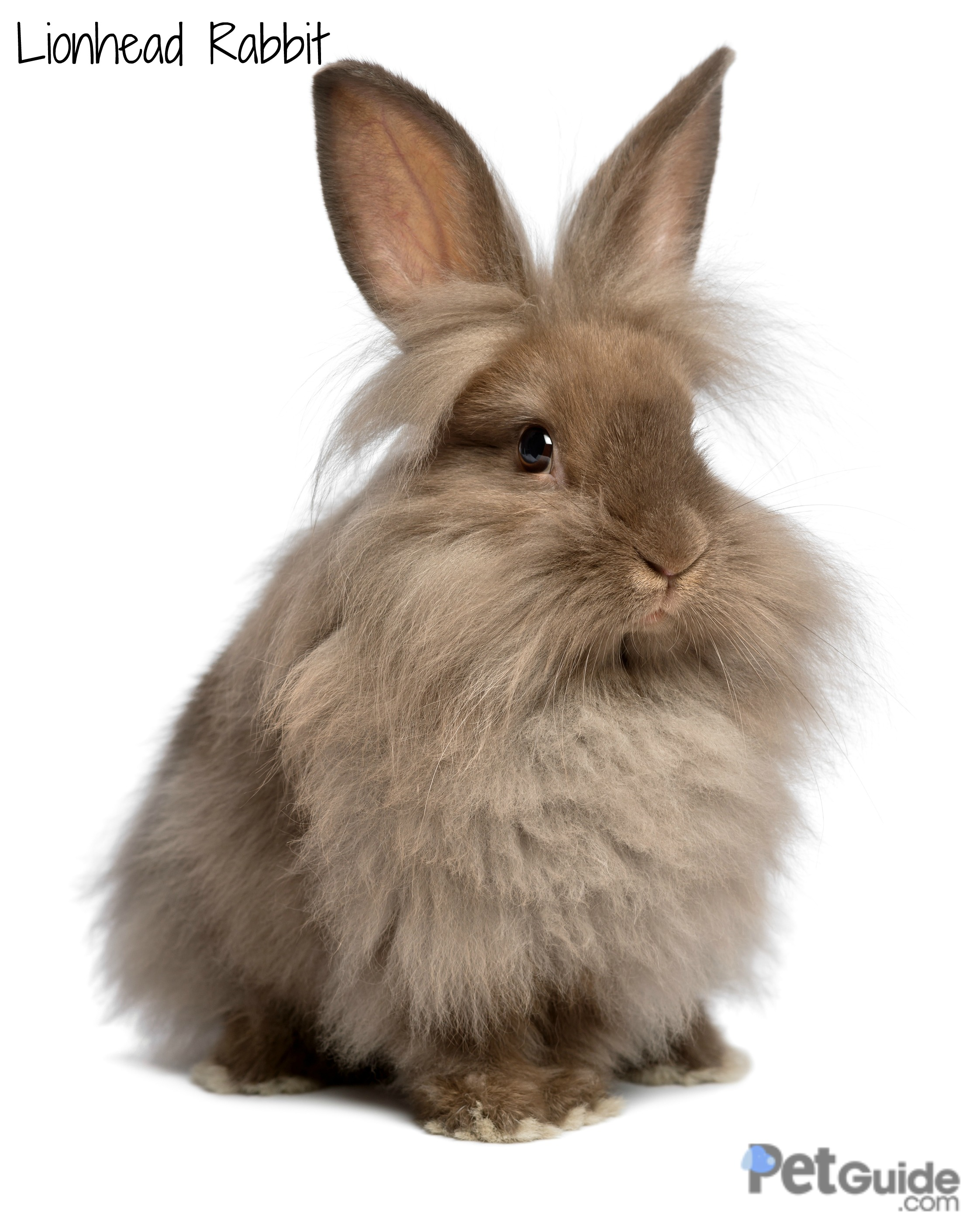 lionhead-rabbit-1.jpg