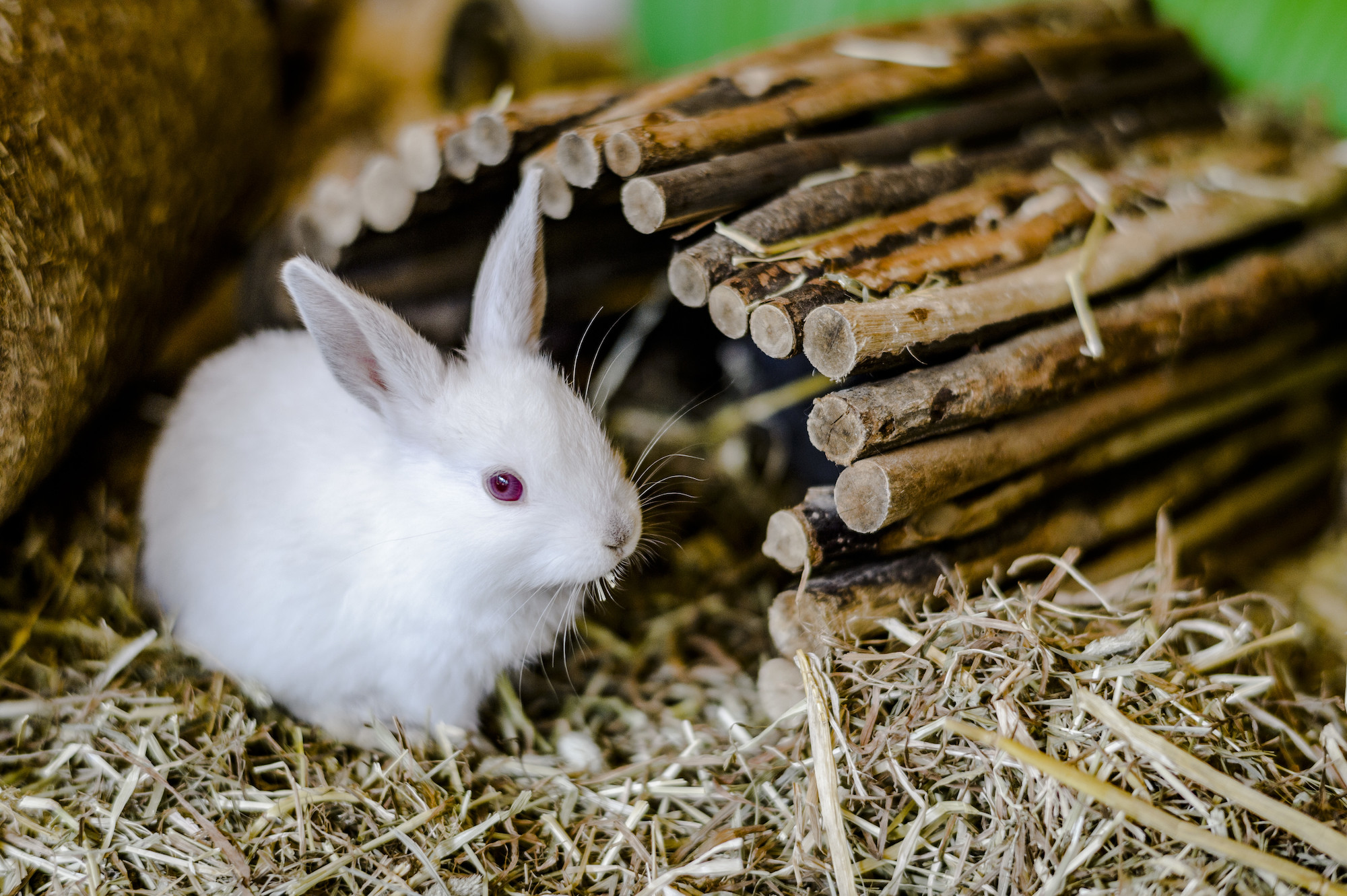 Rabbit advice   How to look after your rabbit   Blue Cross