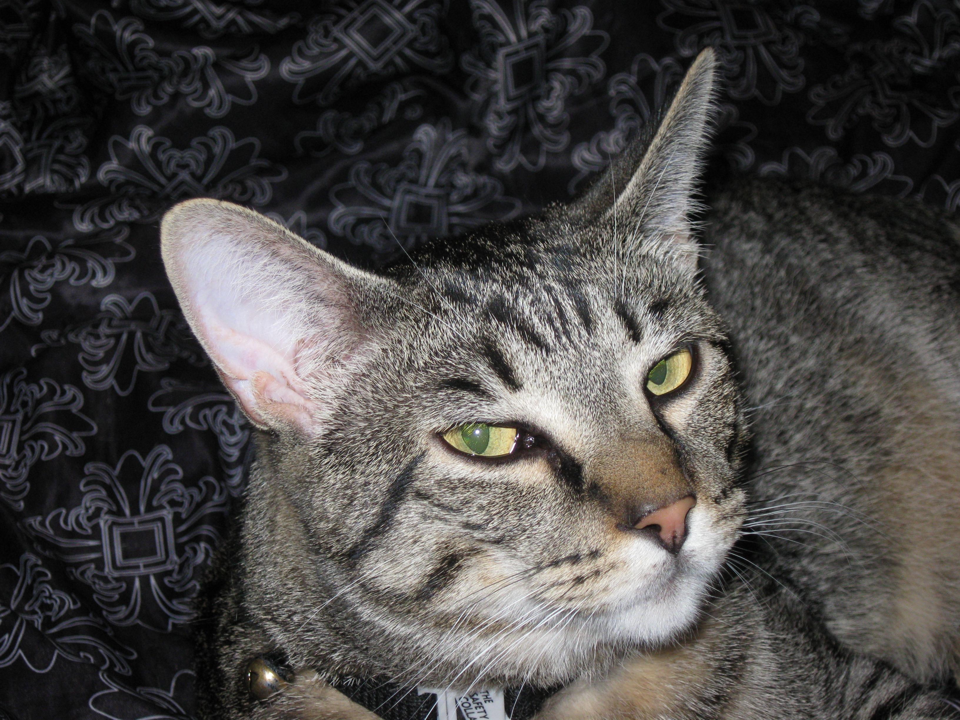 Radar face closeup, Animal, Cat, Cats, Pet, HQ Photo