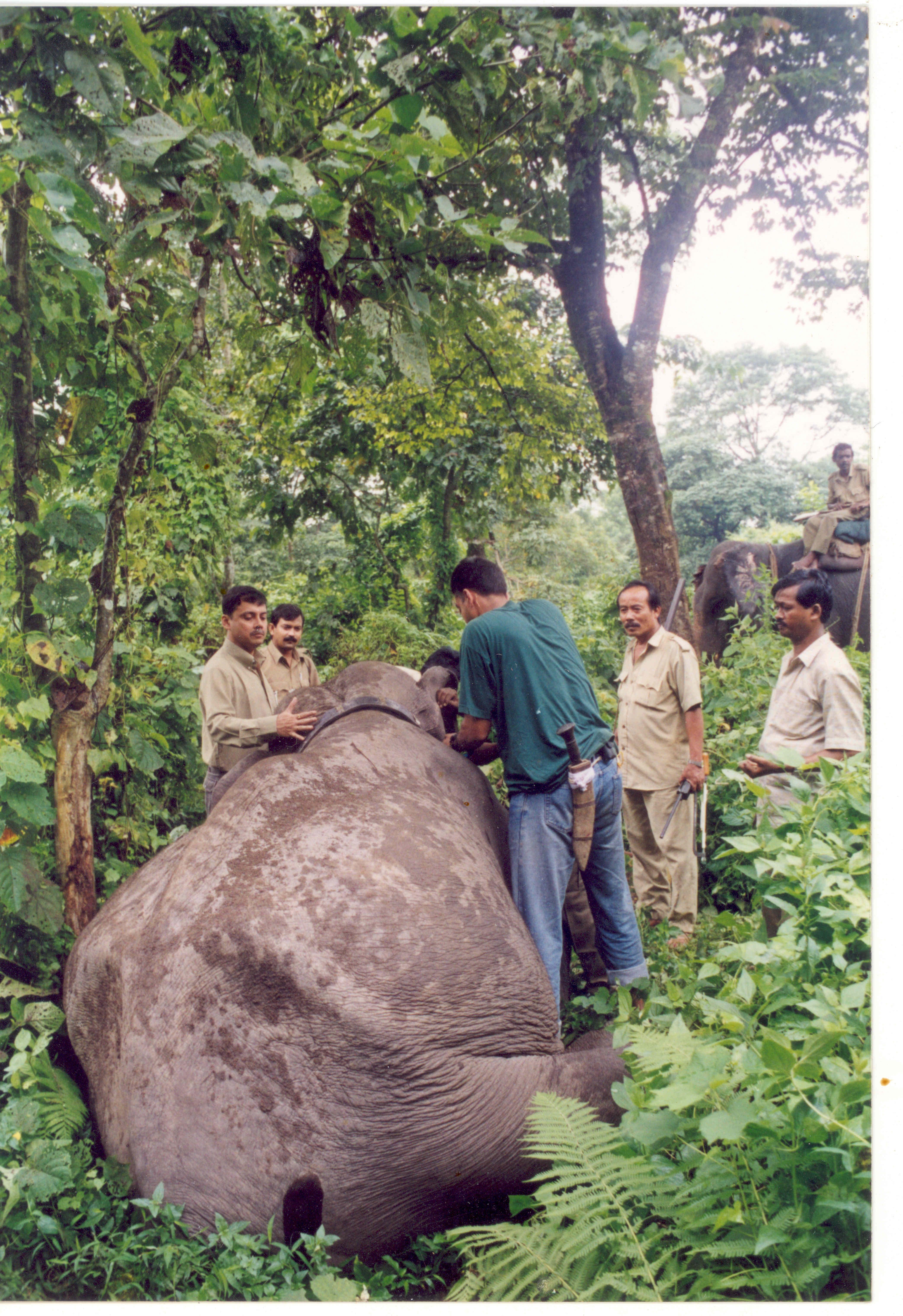 Radio collaring of an elephant photo