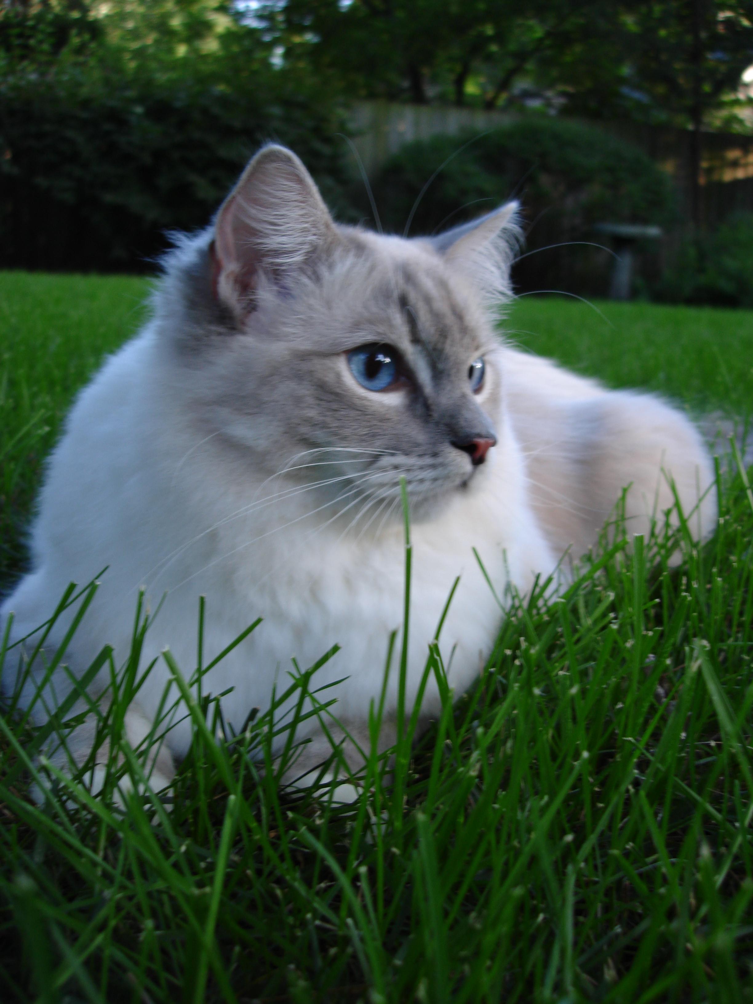 Ragdoll kitten outside photo