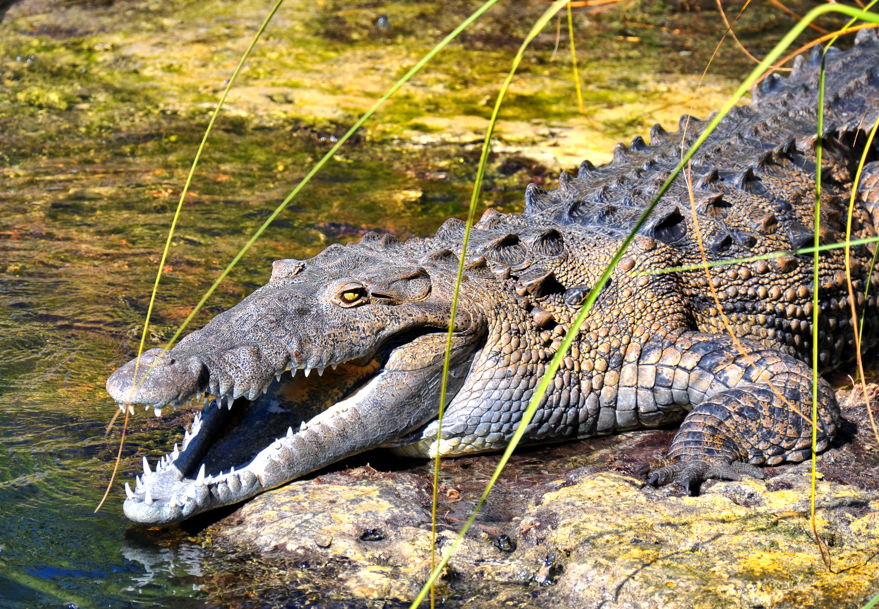 Raging crocodile coast photo