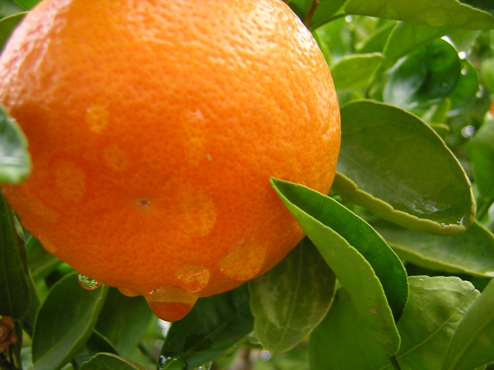 Rain drops on oranges photo