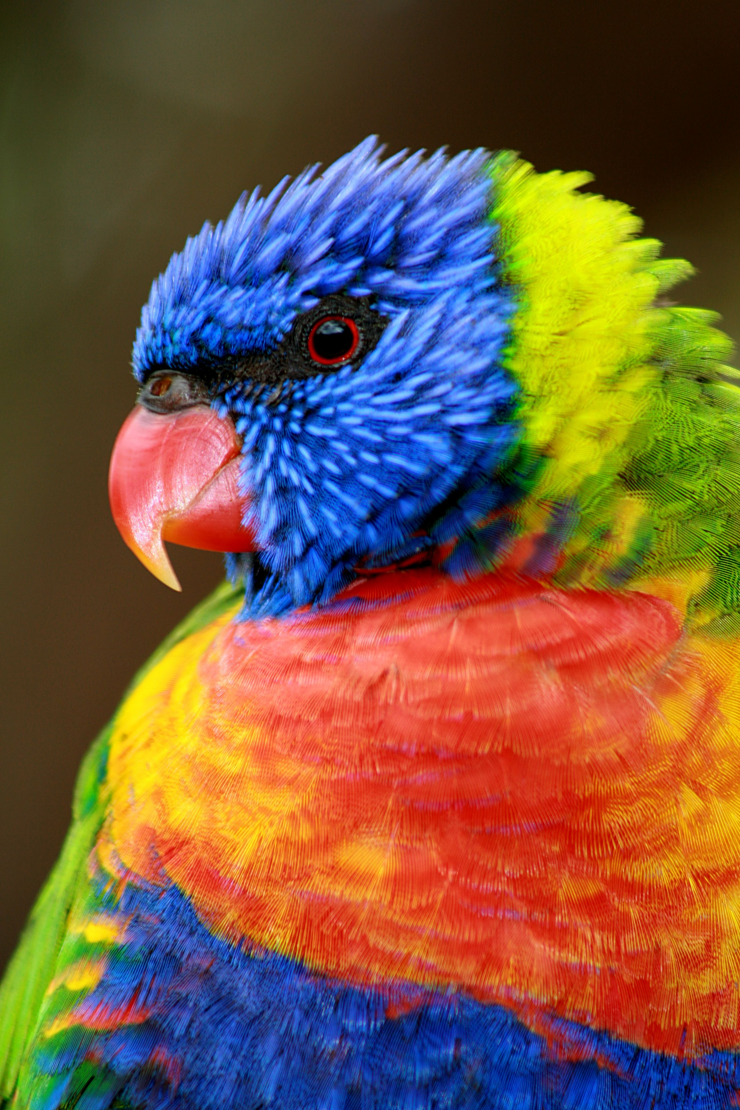 Rainbow lorikeet portrait photo