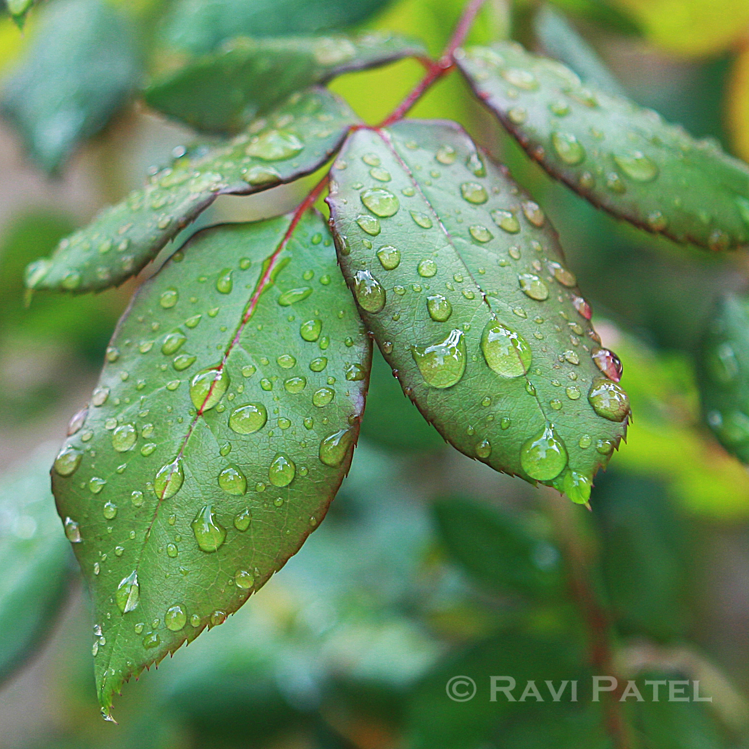 Raindrops on Leaves | Photos by Ravi