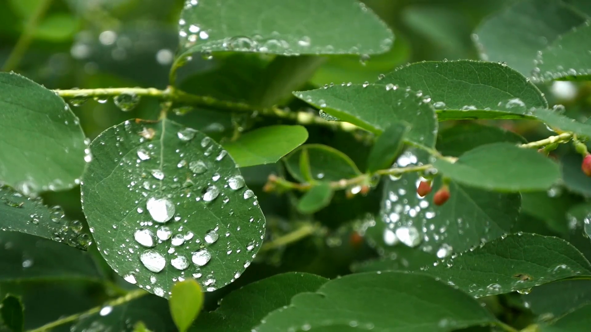 Rainy day, raindrops falling on the leaves. Extreme close up shot of ...