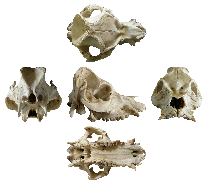Ram cranium photo