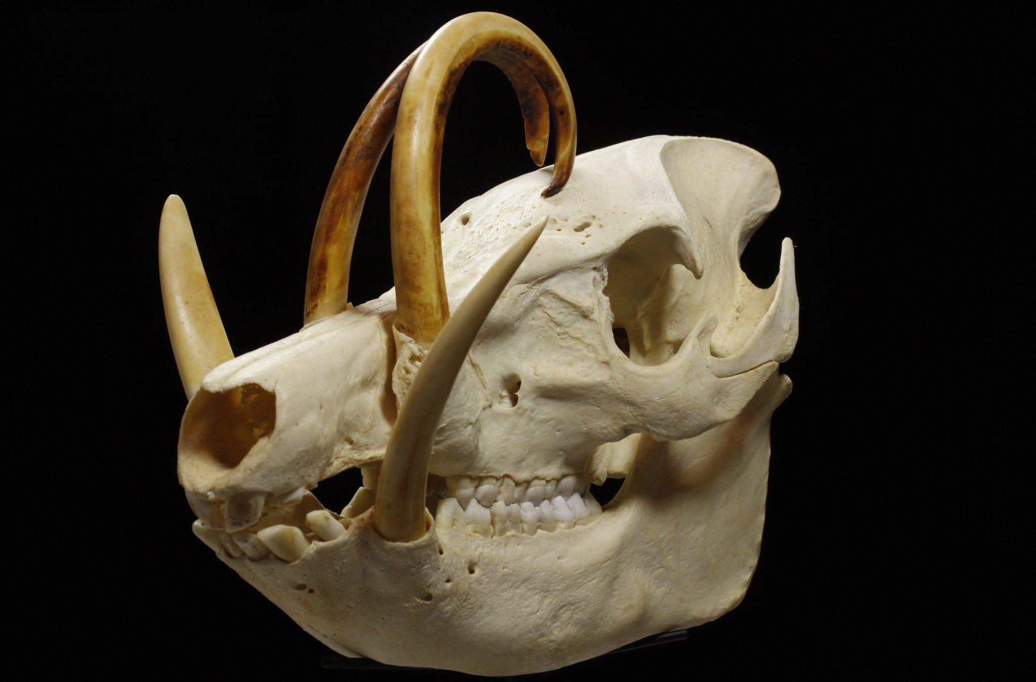 Skulls Engineered to Take Hard Knocks - The New York Times
