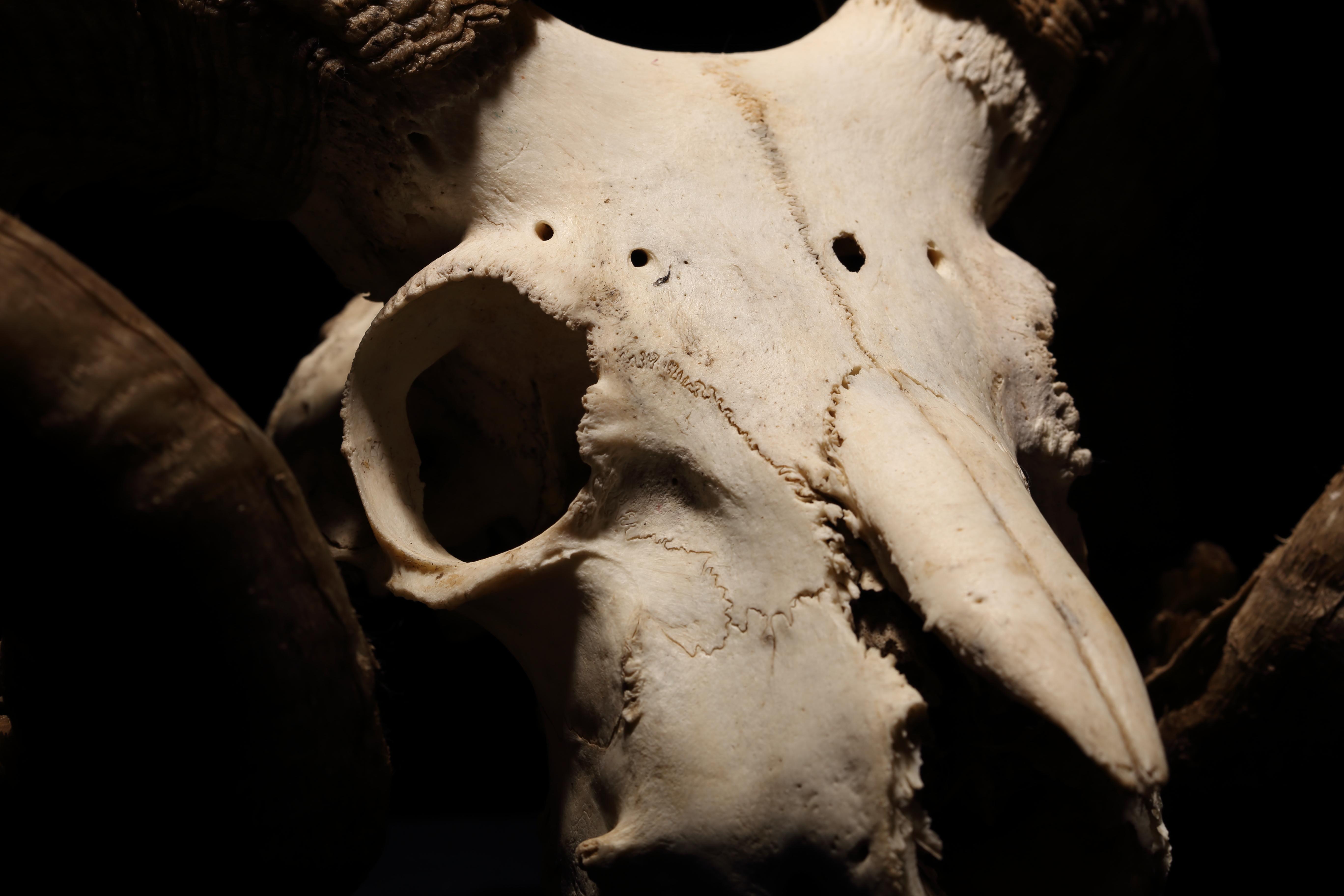 Ram Skull Closeup