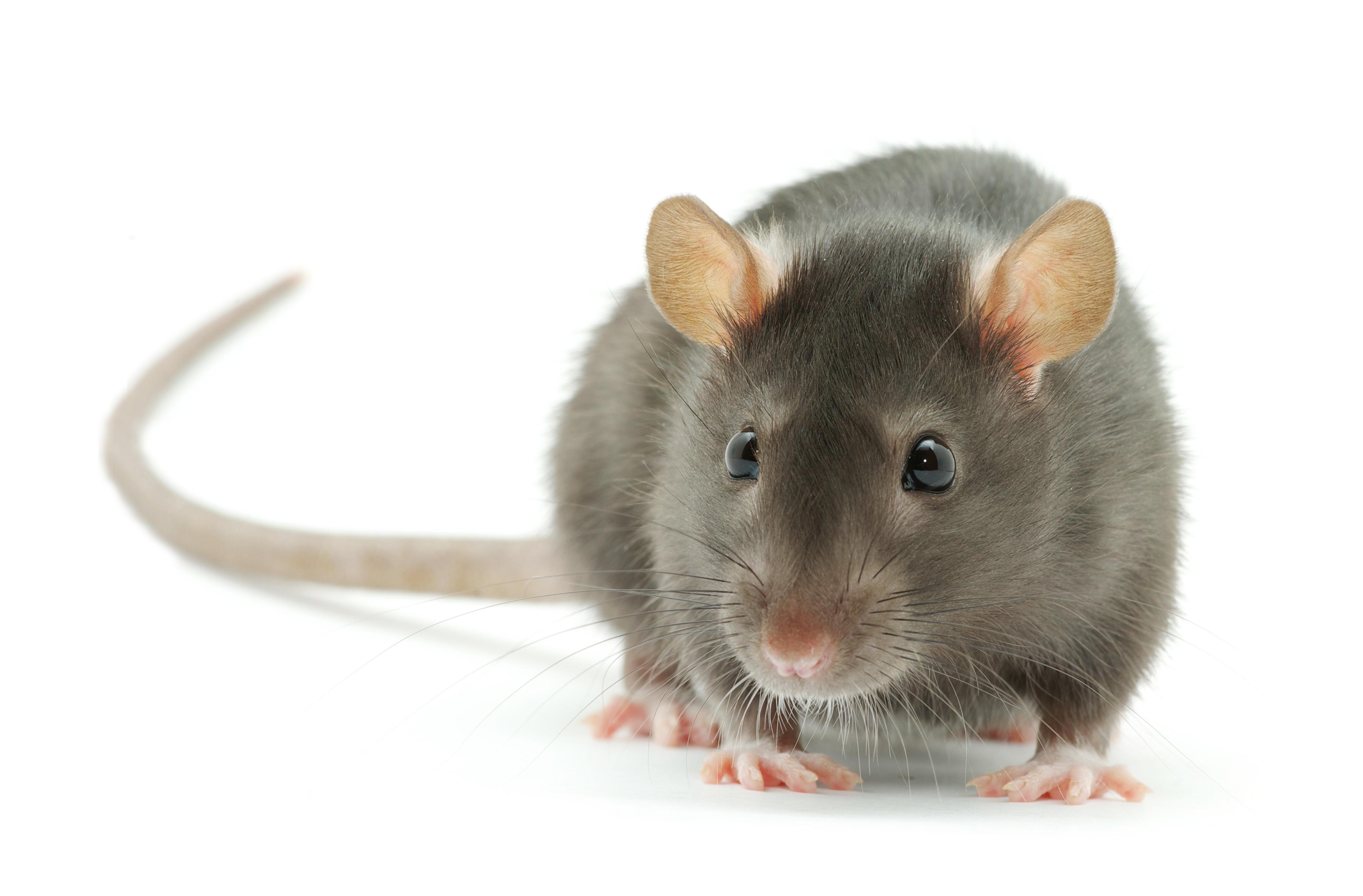 Norway Rat | Bill Clark Bugsperts