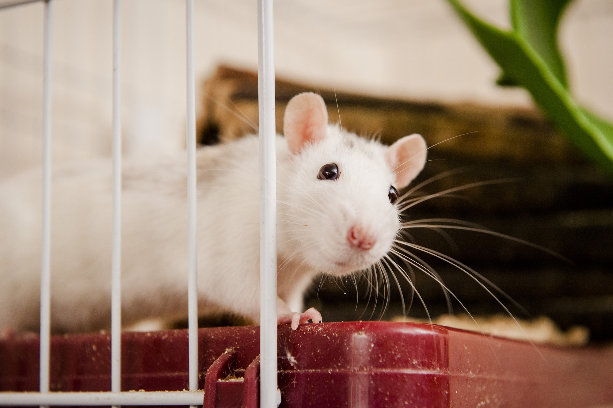 Rat advice | How to look after your rat | Blue Cross