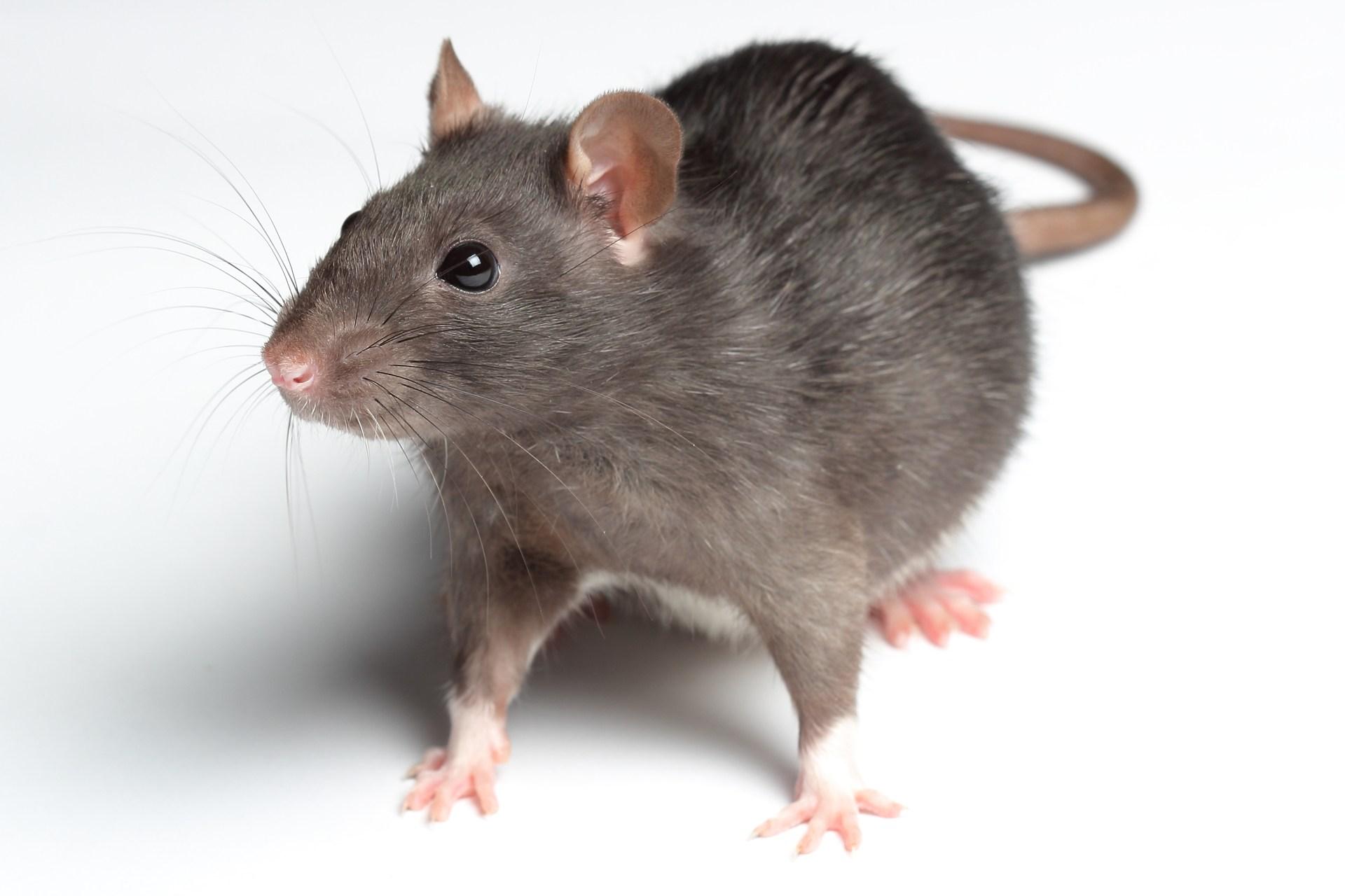 Image - Rat.jpg | Survivors by Erin Hunter Wiki | FANDOM powered by ...